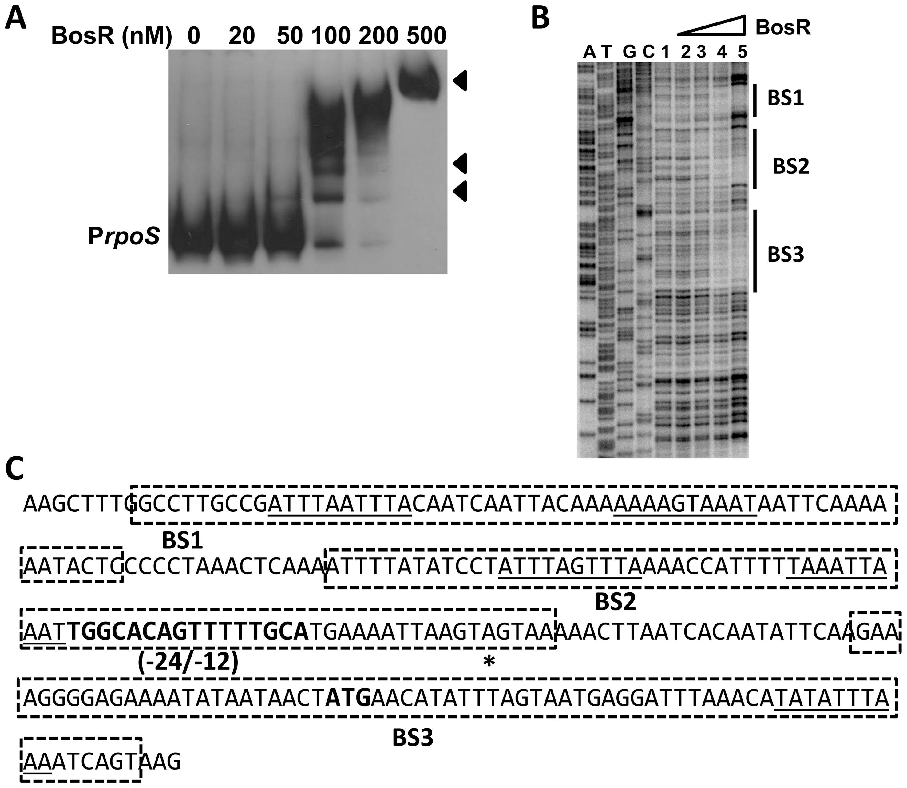 BosR binds to the <i>rpoS</i> promoter.