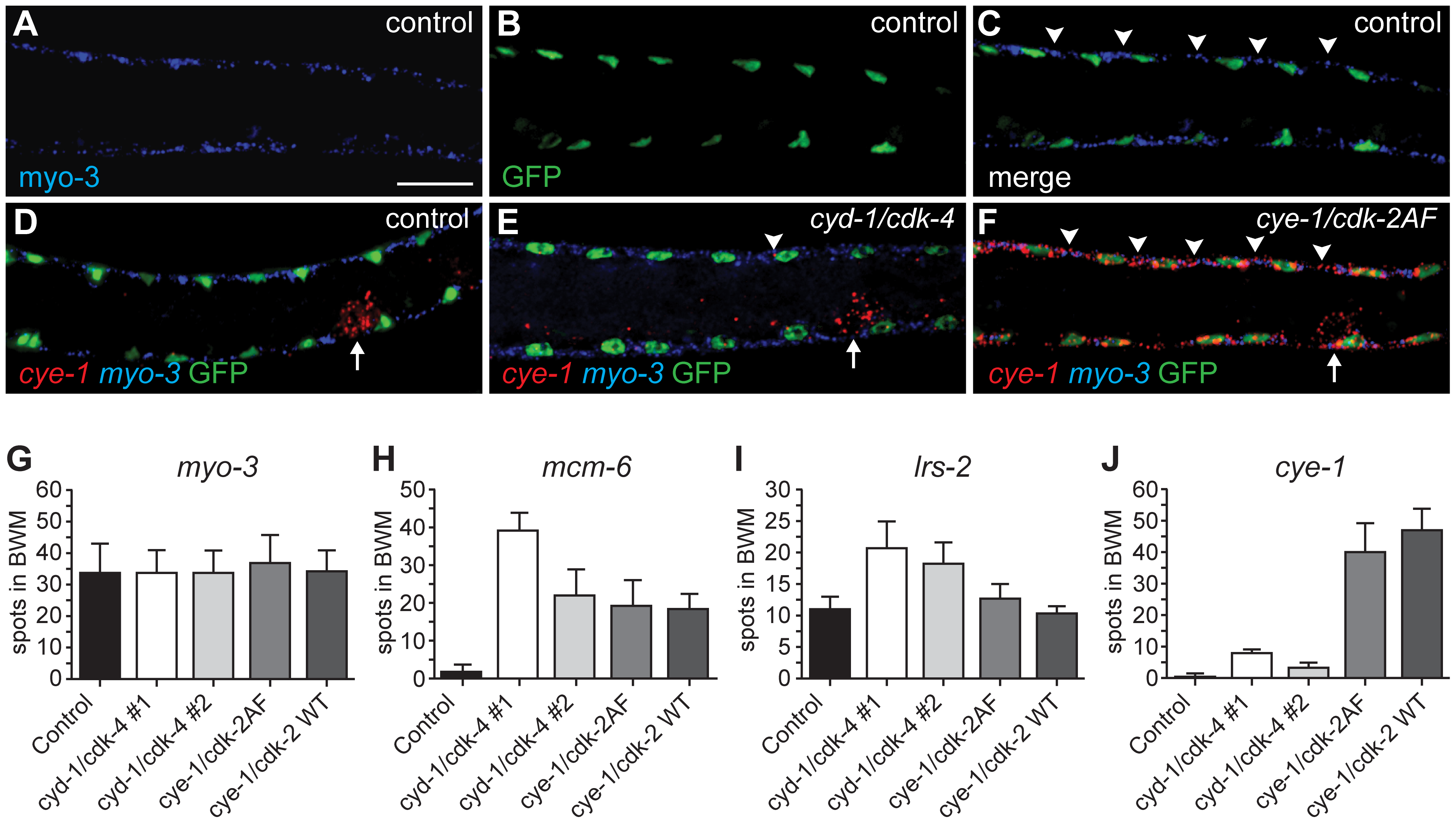 Single molecule FISH shows gene expression in individual muscle cells and limited <i>cye-1</i> induction by CYD-1/CDK-4.