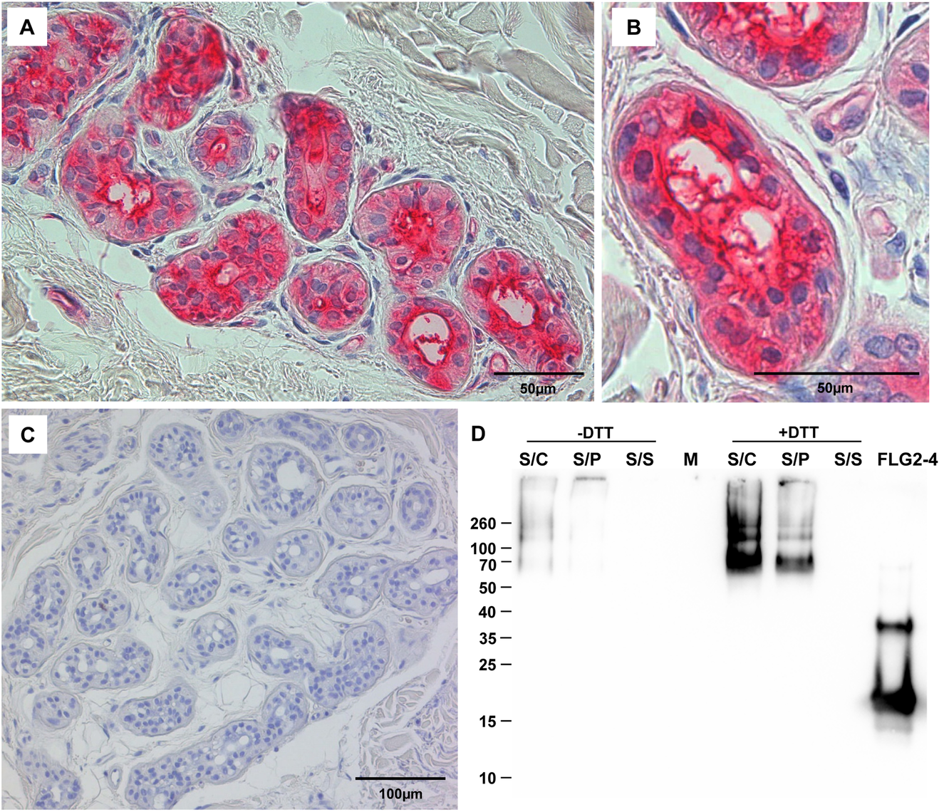 FLG2 is detected in eccrine sweat glands and sweat.