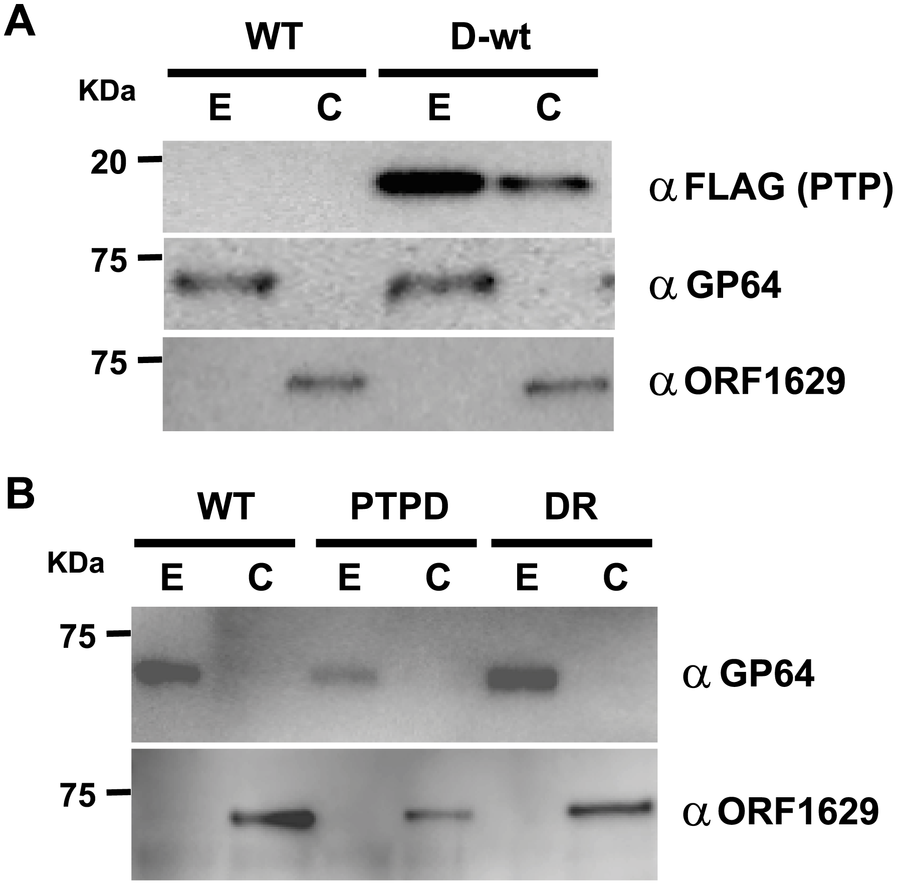 PTP is an envelope-associated protein required for the production of normal virions.