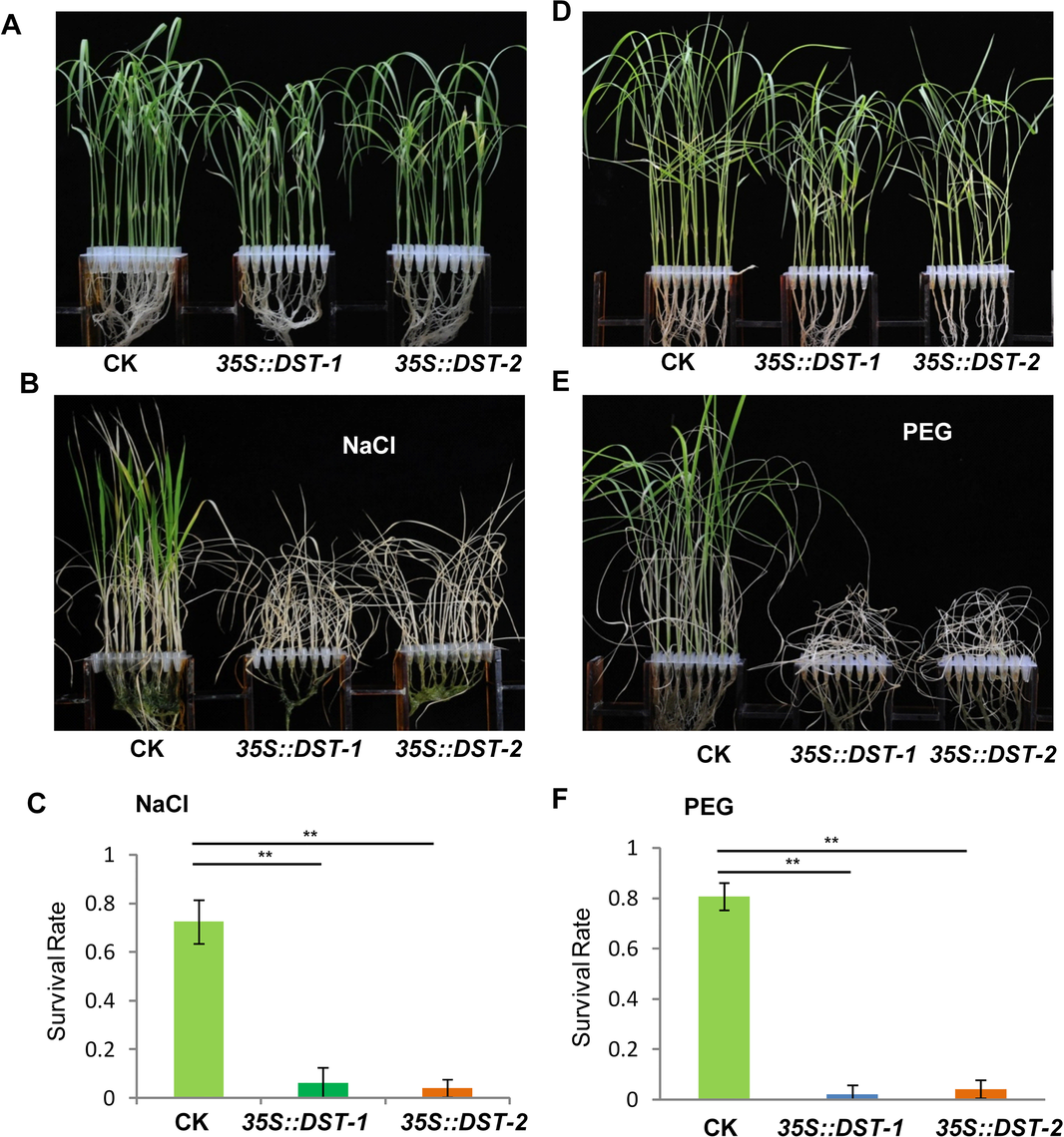 <i>DST</i>-overexpressing like <i>35S</i>::<i>DCA1</i> plants exhibit reduced drought and salt tolerance.