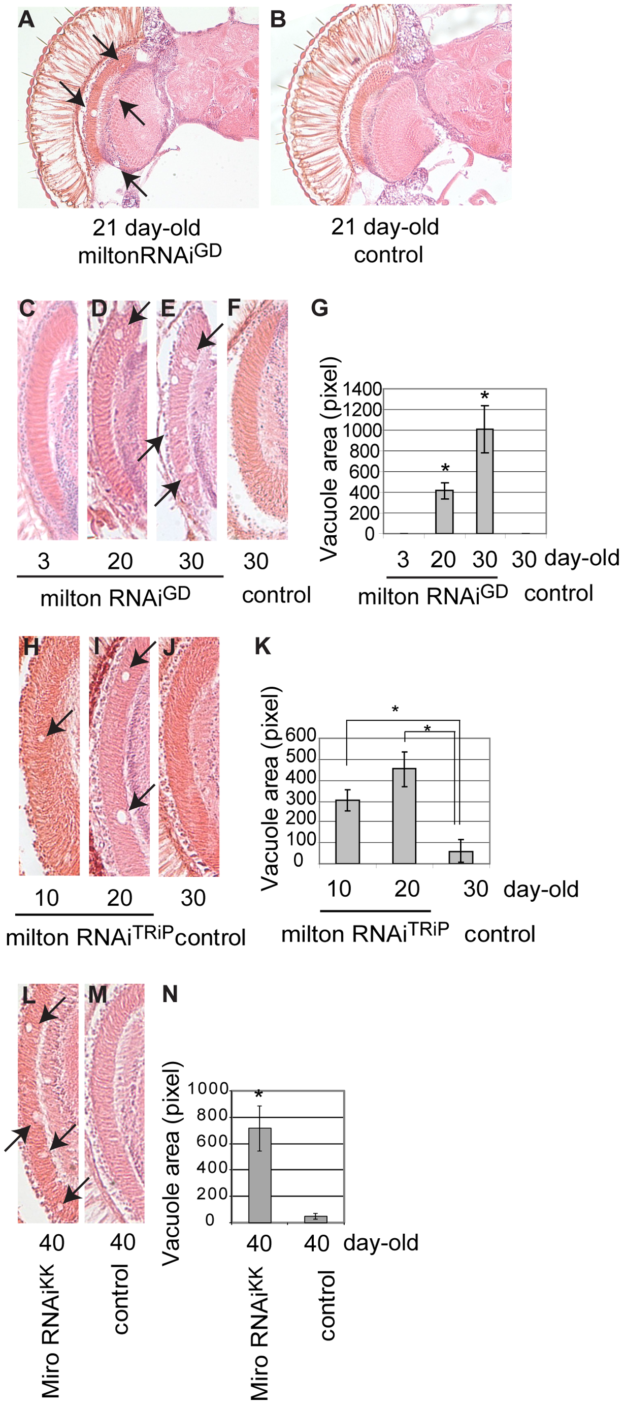 RNAi–mediated knockdown of milton or Miro in neurons causes age-dependent neurodegeneration in the fly brain.