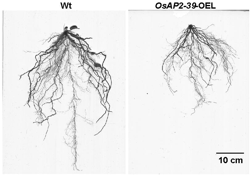 The size of roots system is significantly reduced by the <i>OsAP2-39</i> overexpression in rice.