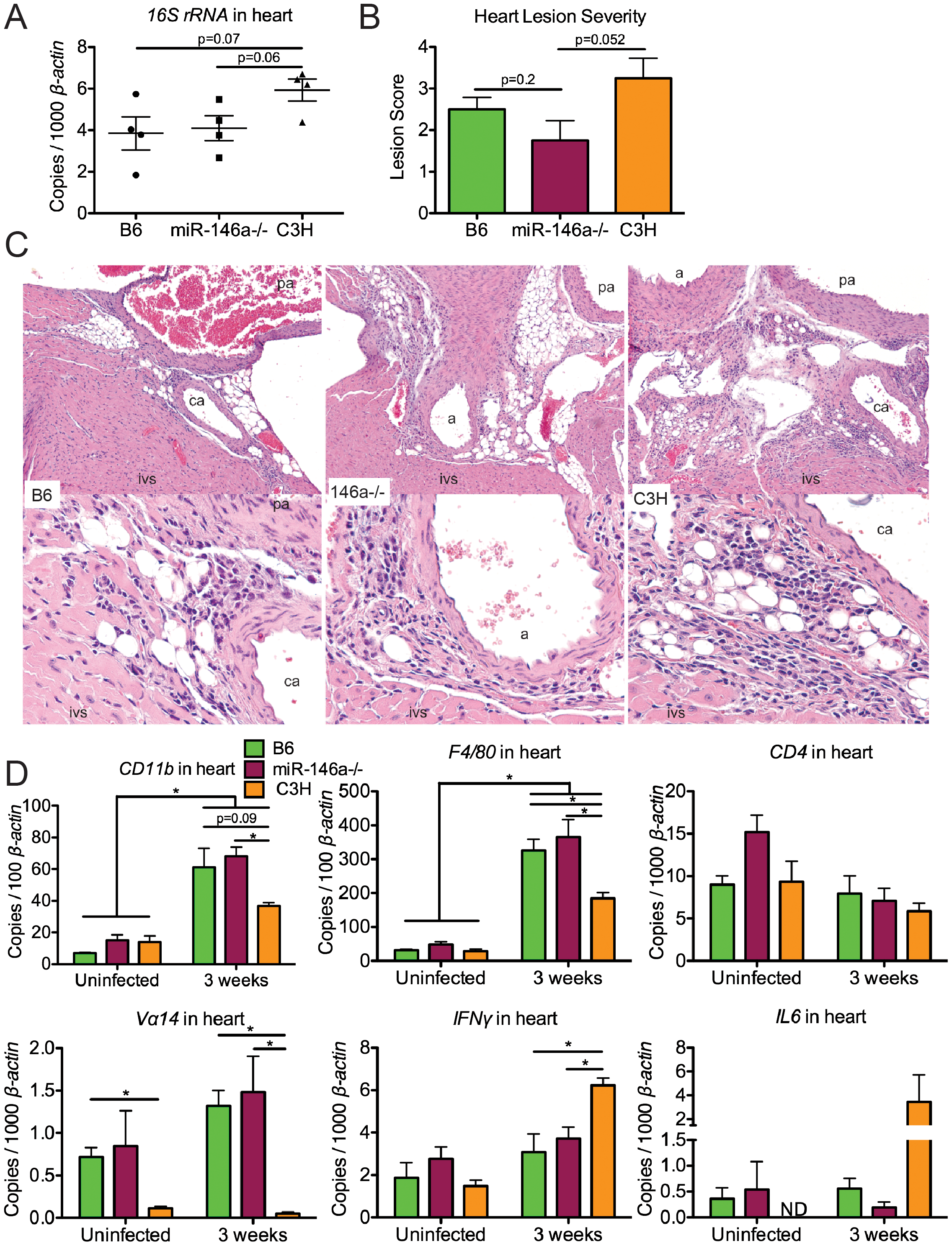 B6 and B6 miR-146a<sup>−/−</sup> mice have similar <i>B. burgdorferi</i> burden and similar levels of inflammation in heart tissue, distinct from C3H mice.