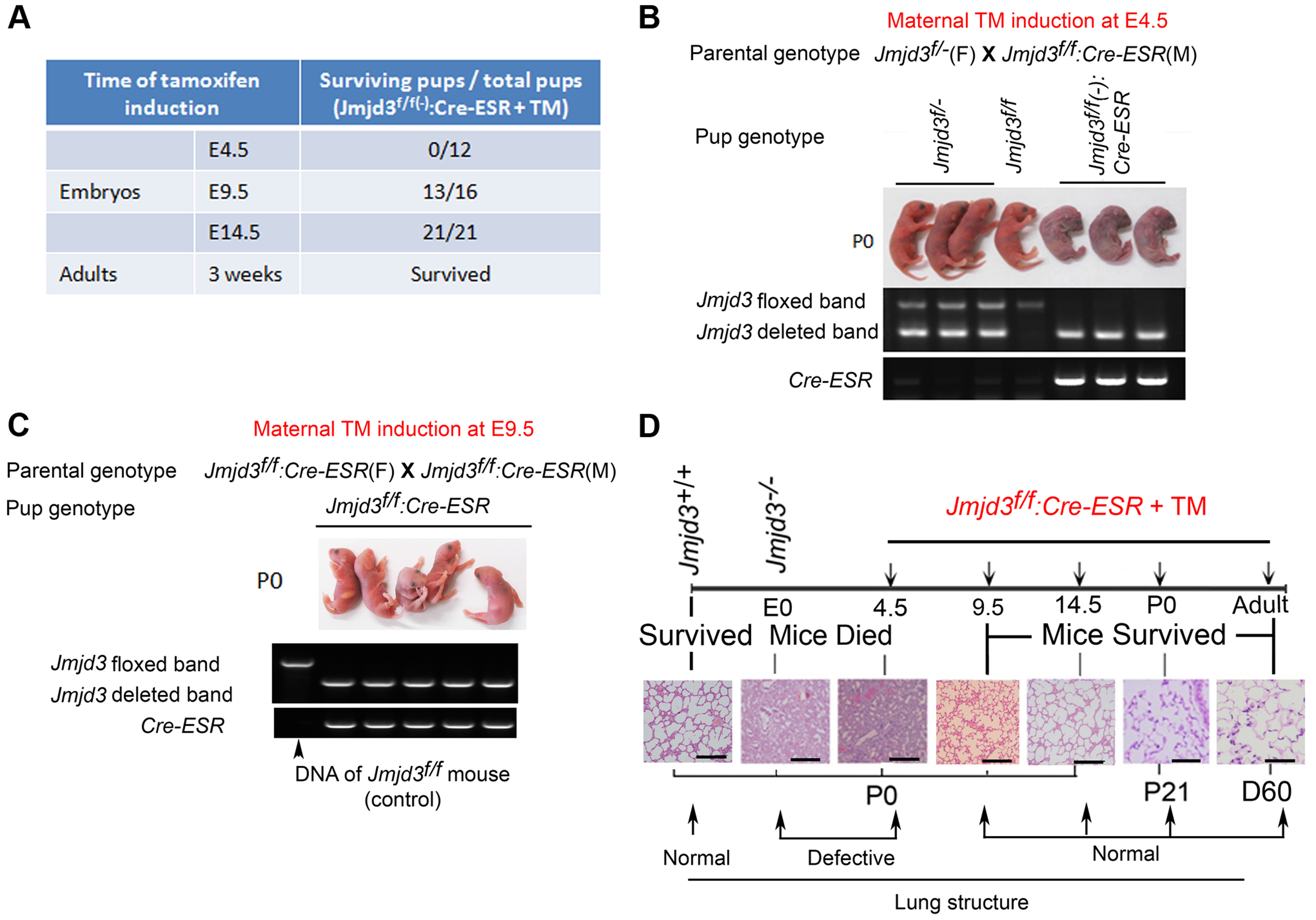 Stage-specific deletion reveals that Jmjd3 is dispensable for lung development in later E9.5 embryonic stage.