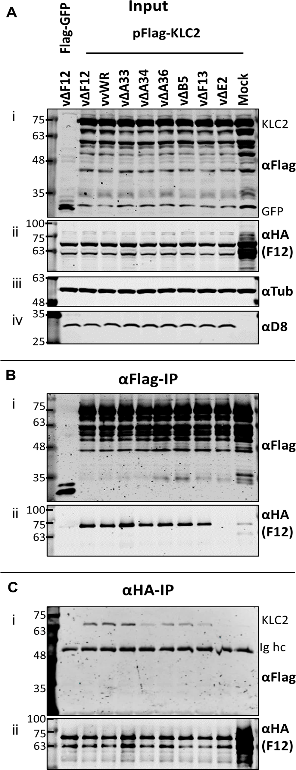 The F12/KLC2 interaction requires expression of E2.