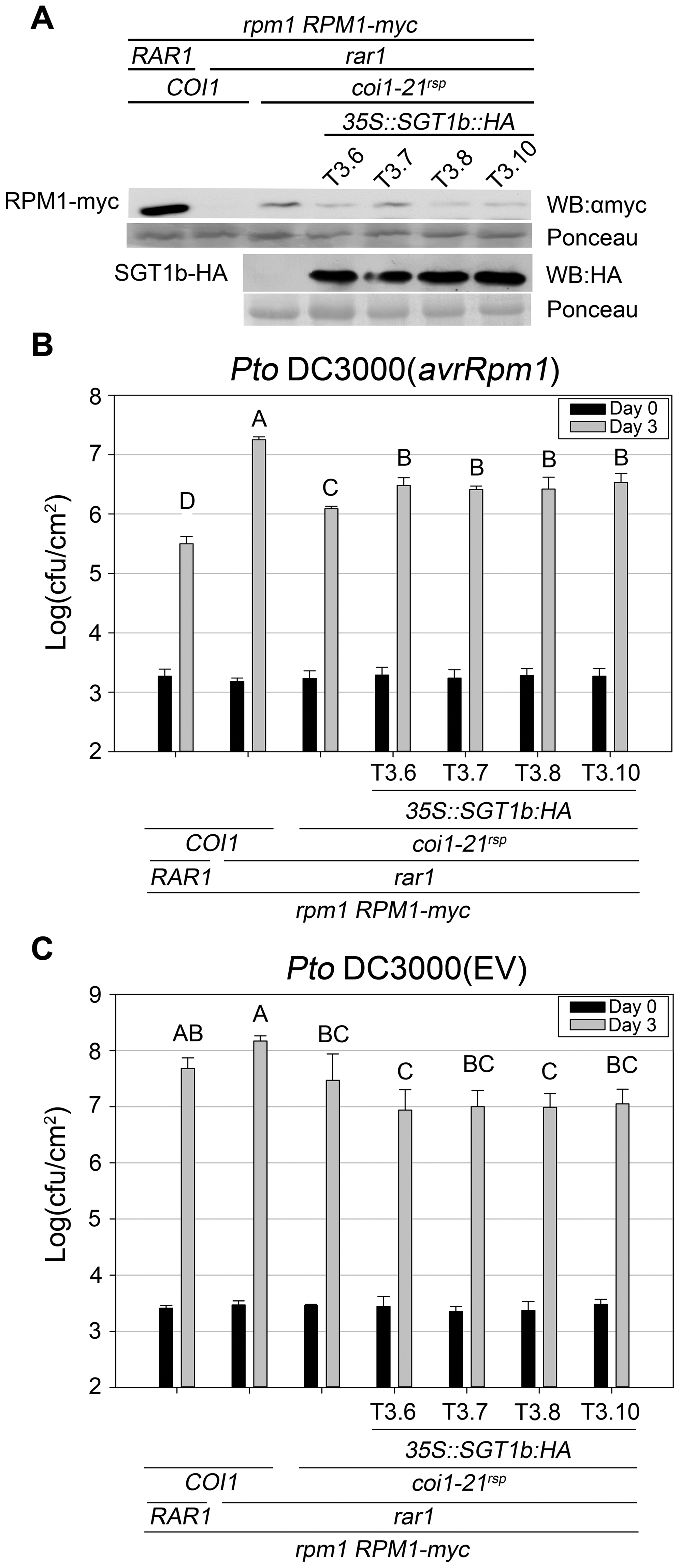 SGT1b over-expression antagonizes <i>coi1<sup>rsp</sup></i>-dependent RPM1 accumulation and <i>RPM1</i>-mediated disease resistance in <i>rar1</i>.
