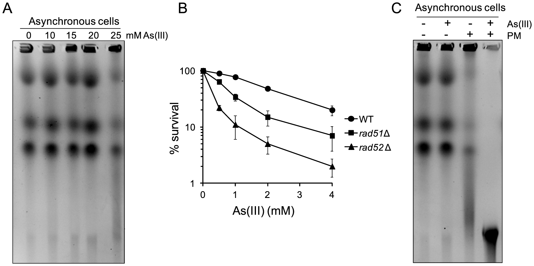 DSB induction by As(III) in <i>Schizosaccharomyces pombe</i> and the role of HR in surviving As(III) treatment.