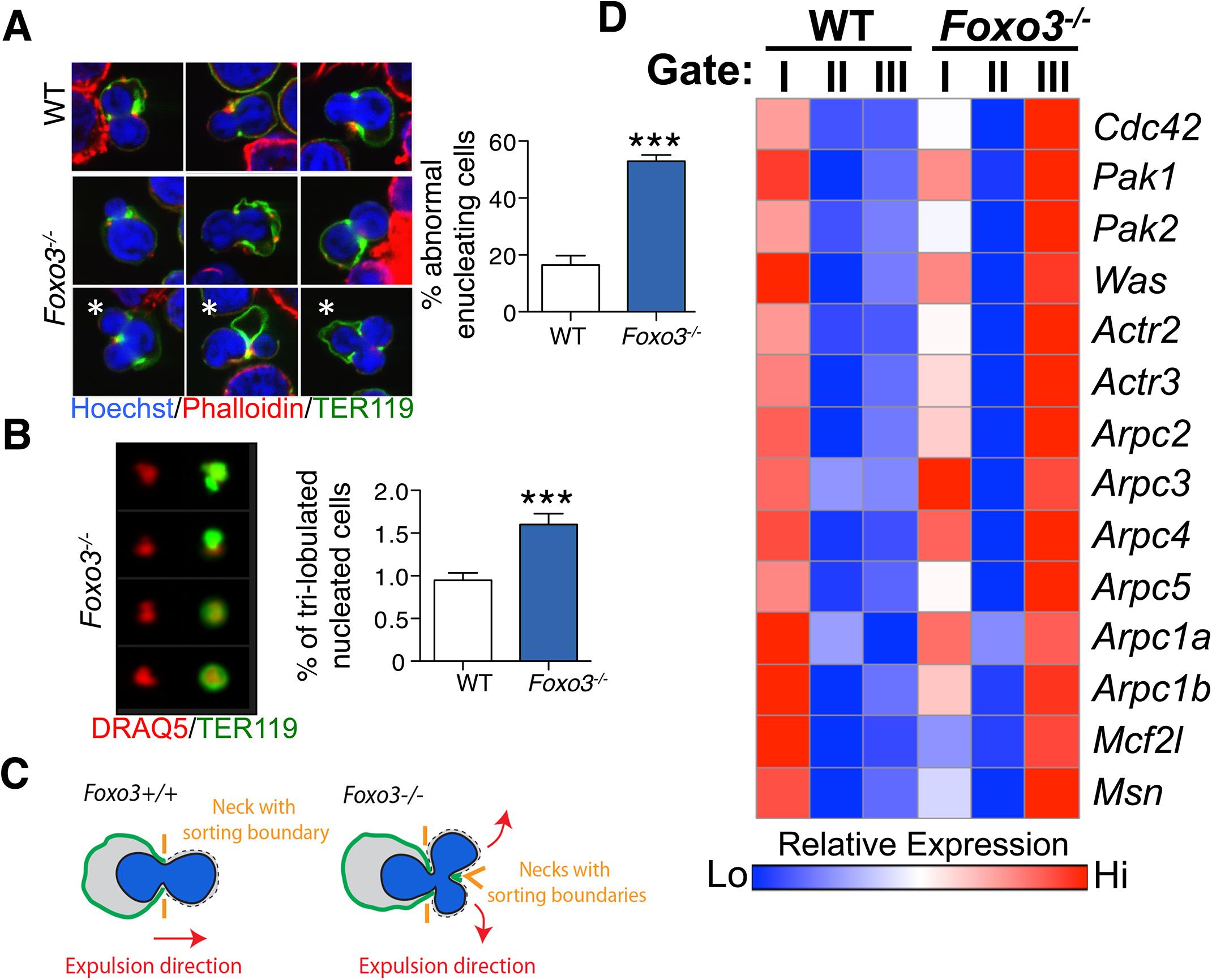 Defective enucleation in <i>Foxo3</i><sup><i>-/-</i></sup> bone marrow erythroblasts.