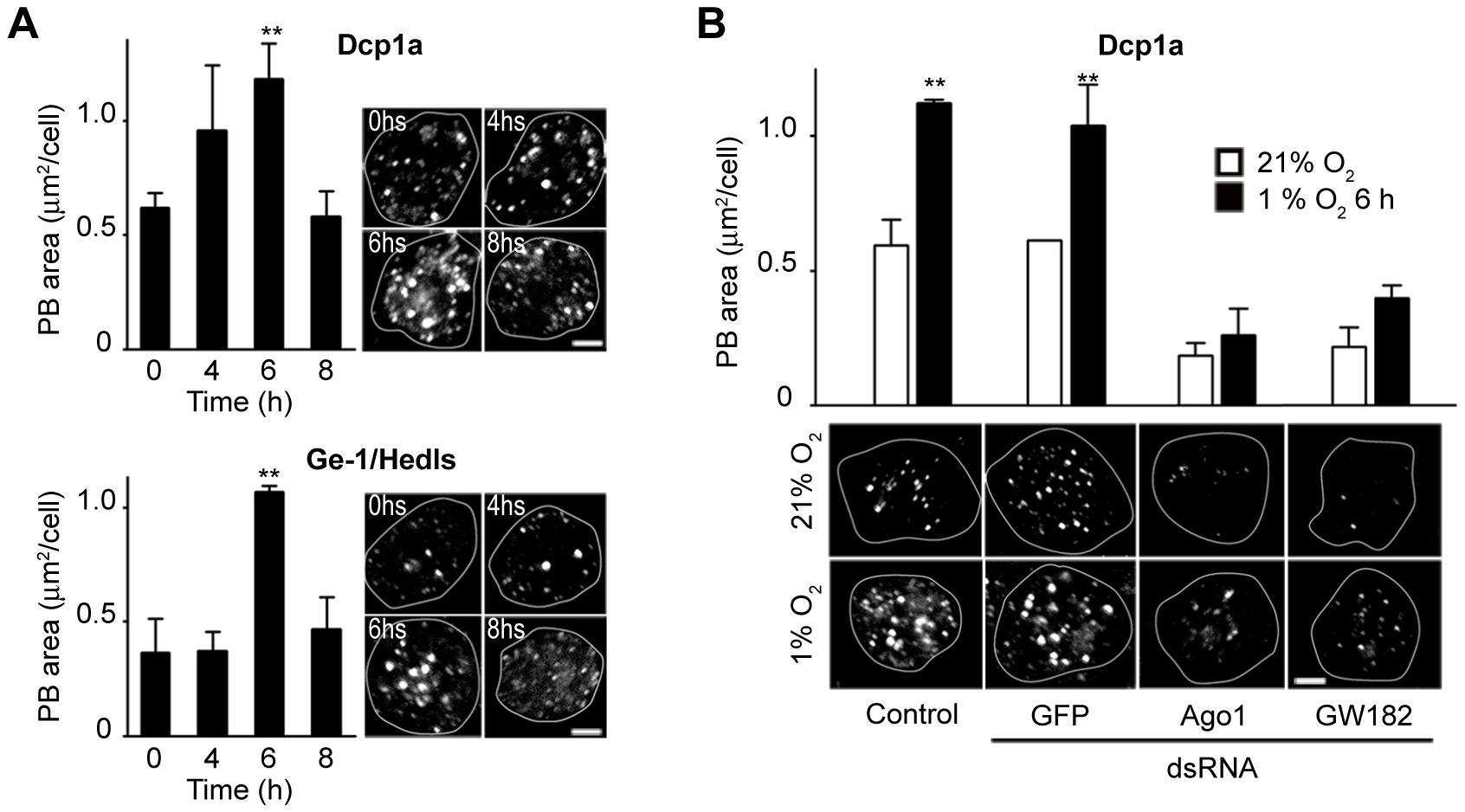 PBs accumulate in cells exposed to hypoxia in an Ago1- and GW182-dependent manner.