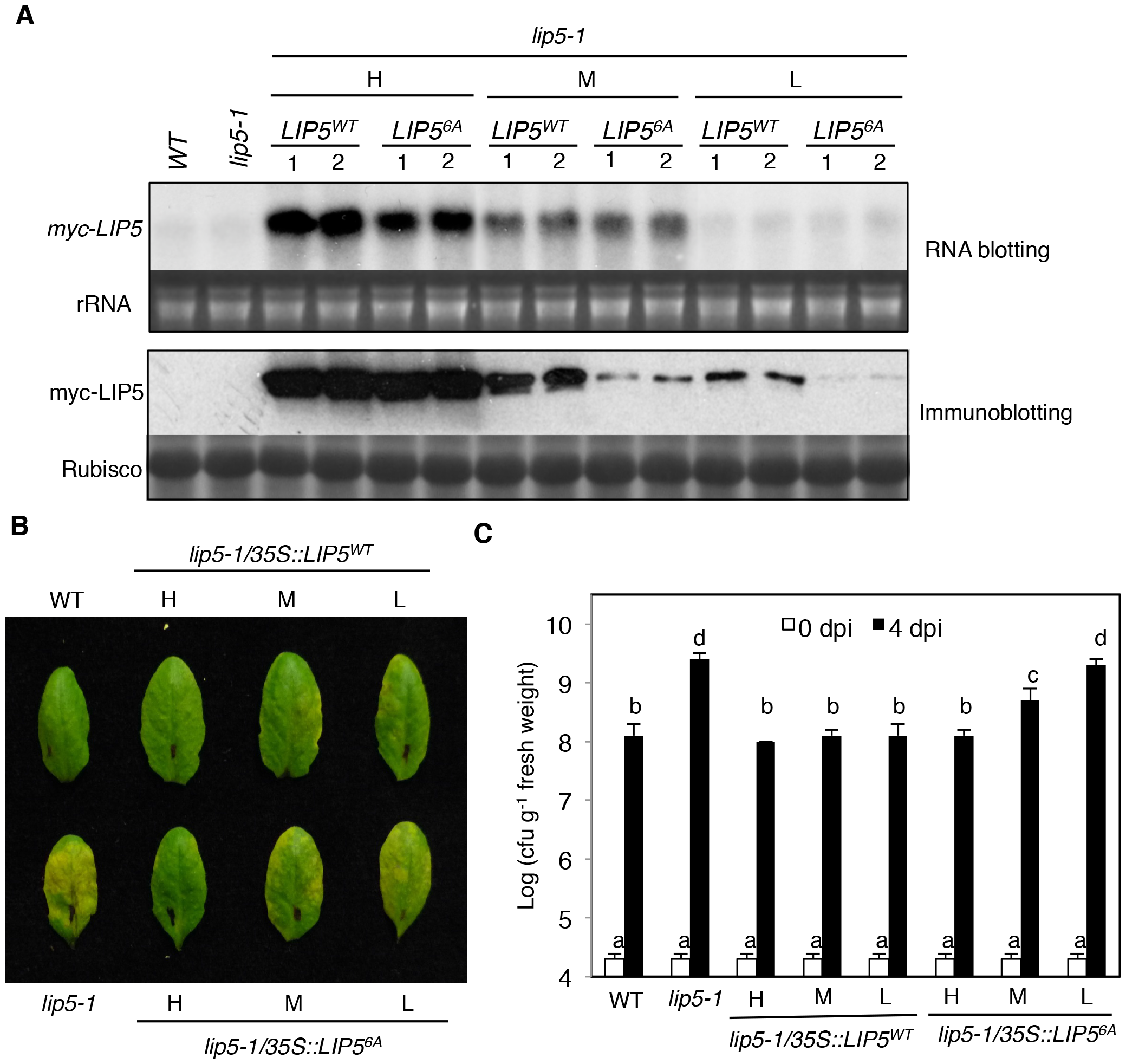 Phosphorylation-regulated LIP5 protein stability and plant basal resistance.
