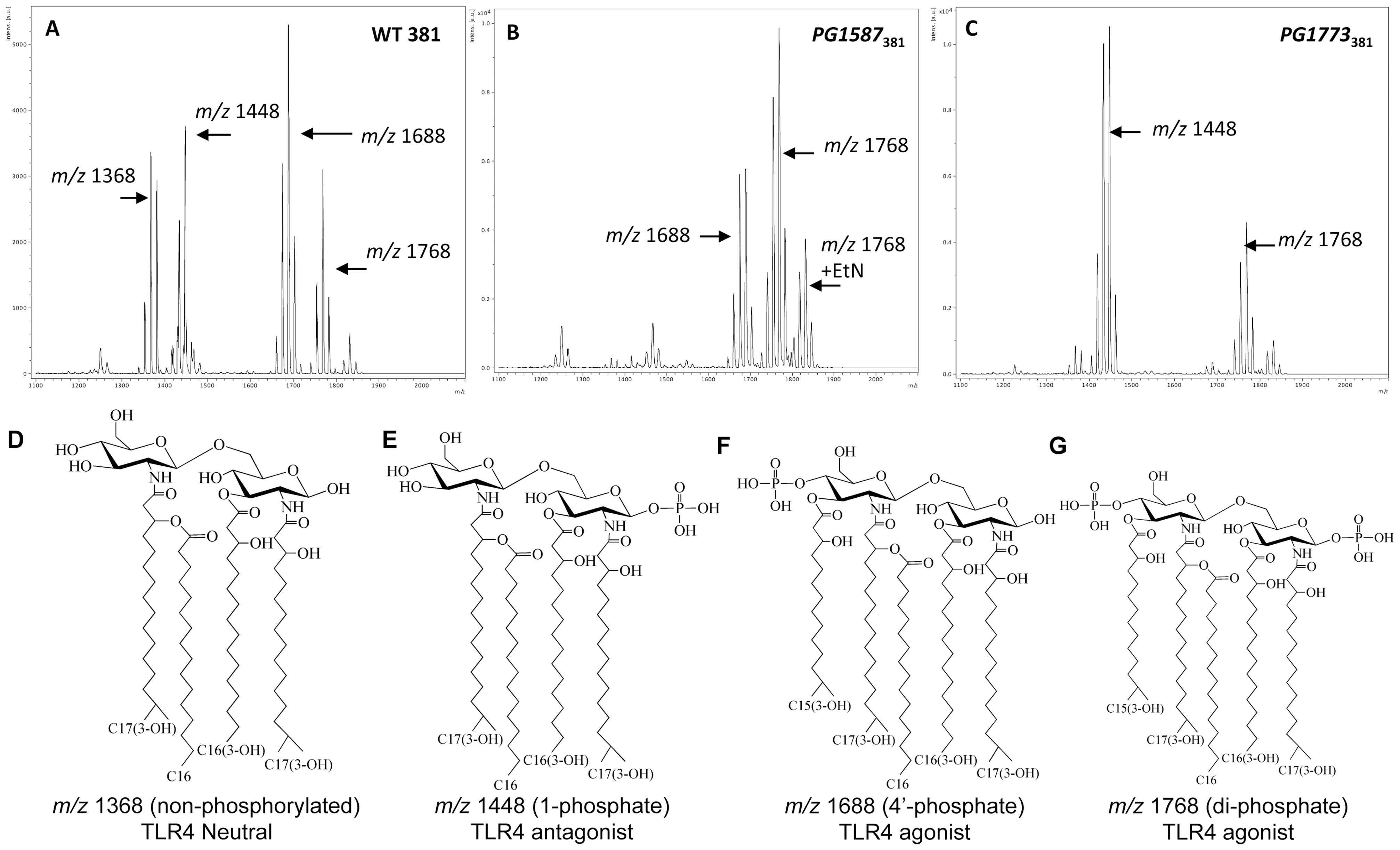 <i>P. gingivalis</i> strain 381 utilizes endogenous lipid A 1- and 4′- phosphatase activities to modify lipid A species and evade TLR4 activation.