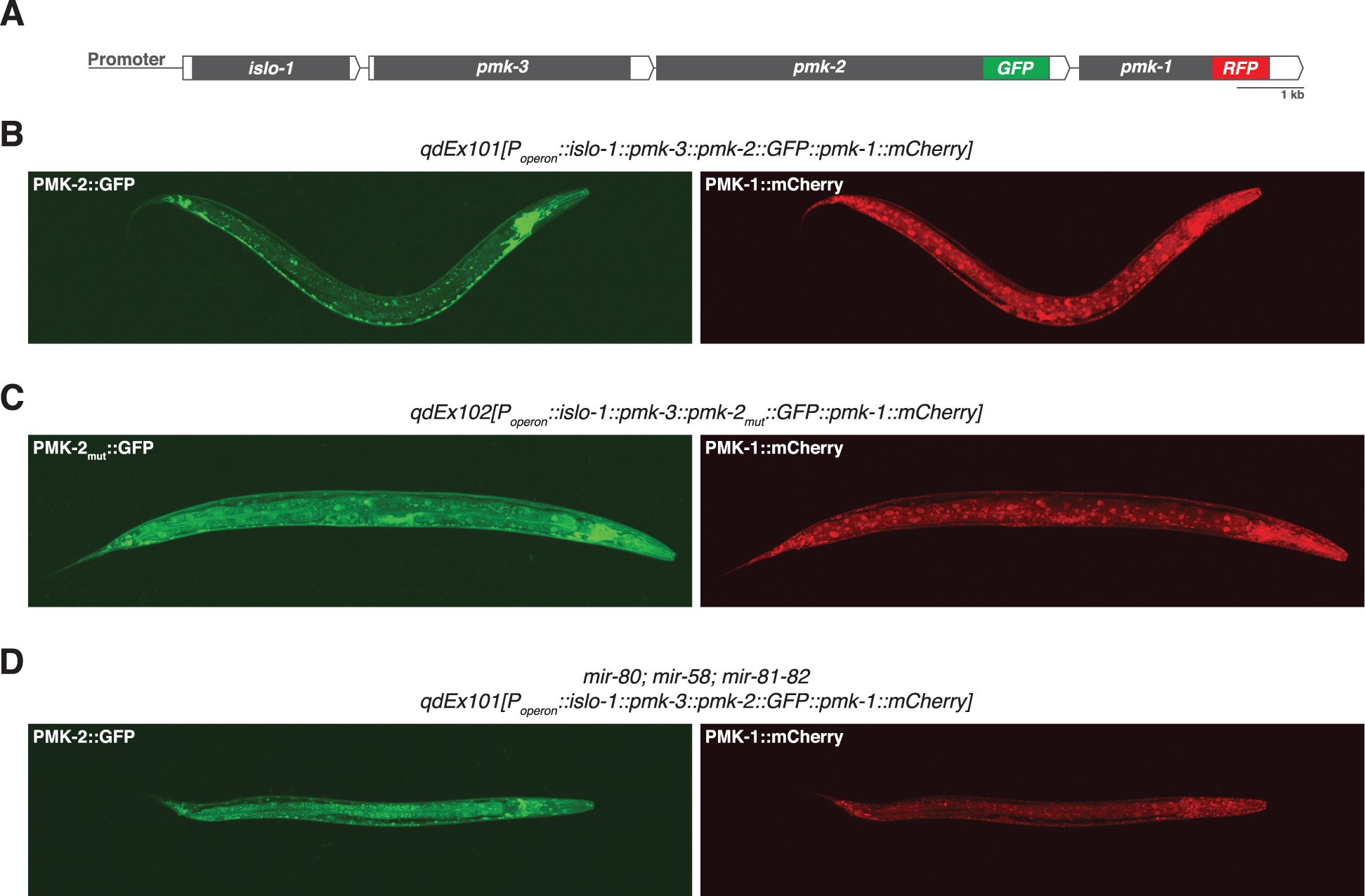 Distinct tissue expression patterns of <i>pmk-1</i> and <i>pmk-2</i>.
