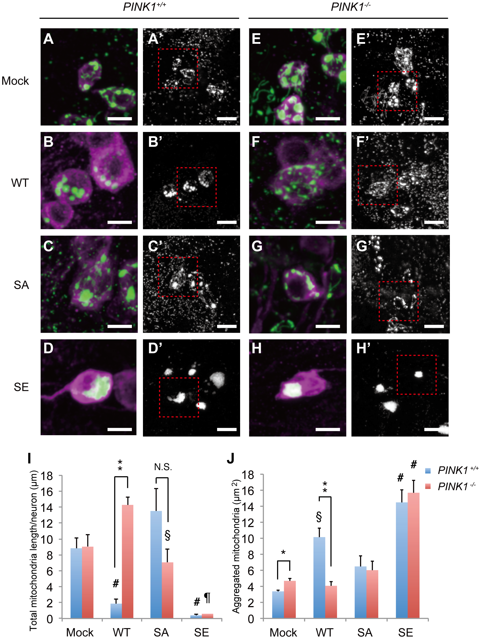 Parkin phosphorylation regulates mitochondrial morphology and the distribution of DA neurons.