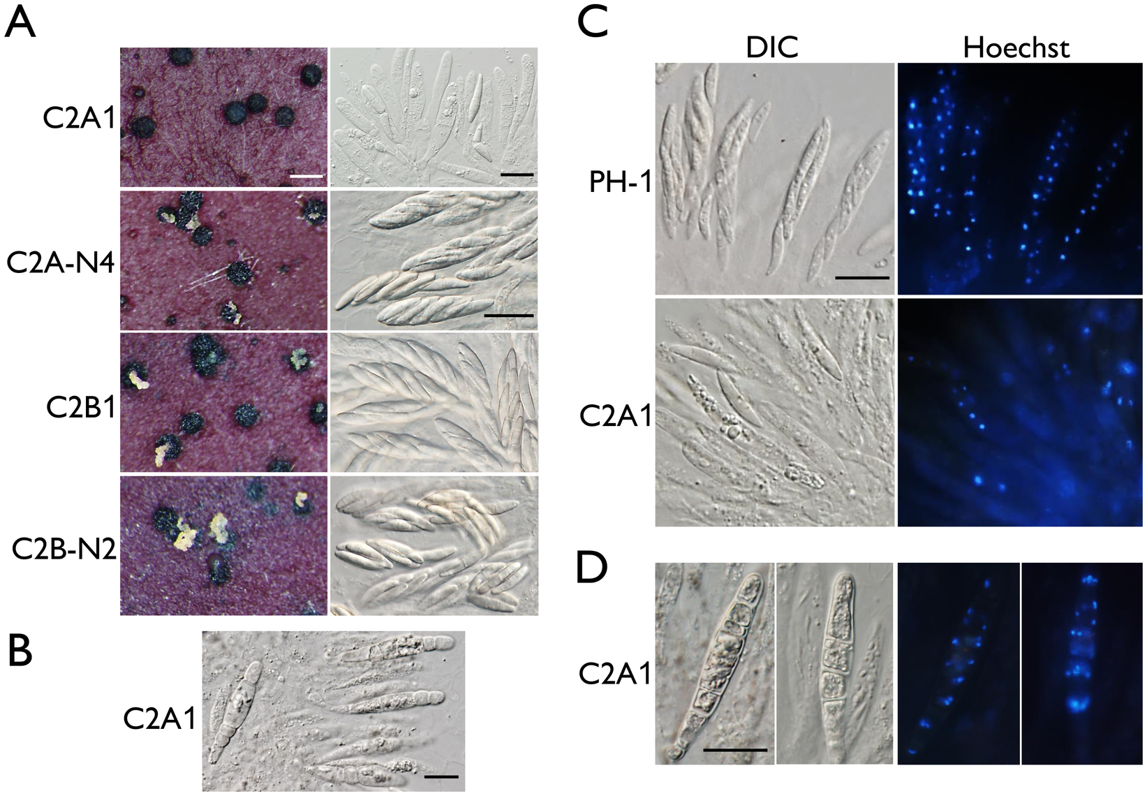 Assays for defects in sexual reproduction in the <i>cdc2A</i> and <i>cdc2B</i> deletion mutants.
