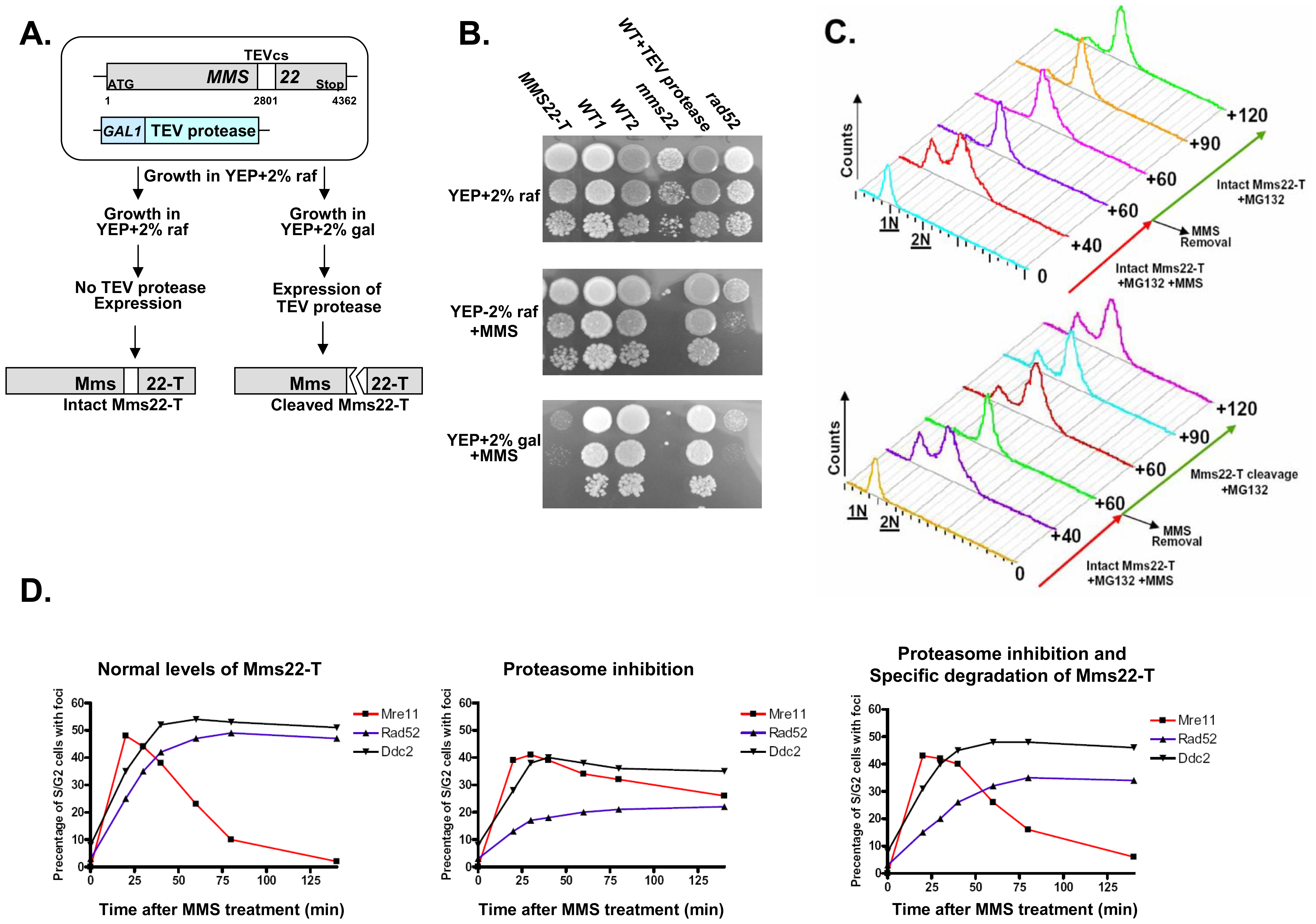 Degradation of Mms22 is sufficient to allow exit from the DNA damage induced G<sub>2</sub>/M arrest.
