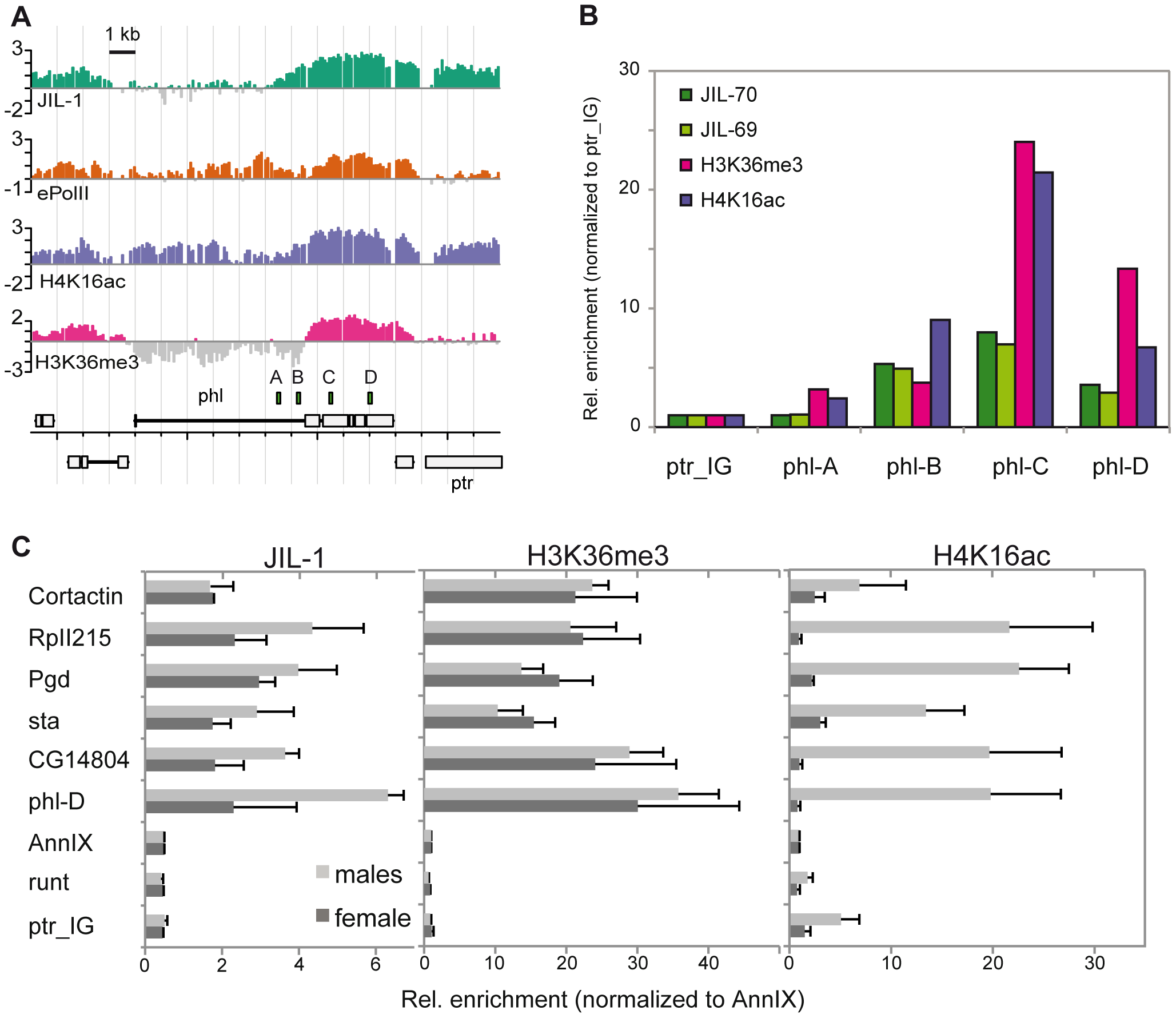 JIL-1 is enriched at the 3′ end of <i>phl</i> and is twofold enriched at X-linked loci in male flies.