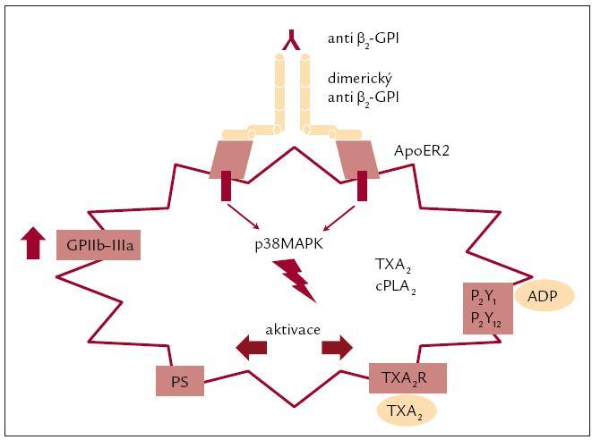 Vliv aktivace destičkových glykoproteinů antifosfolipidovými protilátkami na další procesy. Upraveno podle [5].