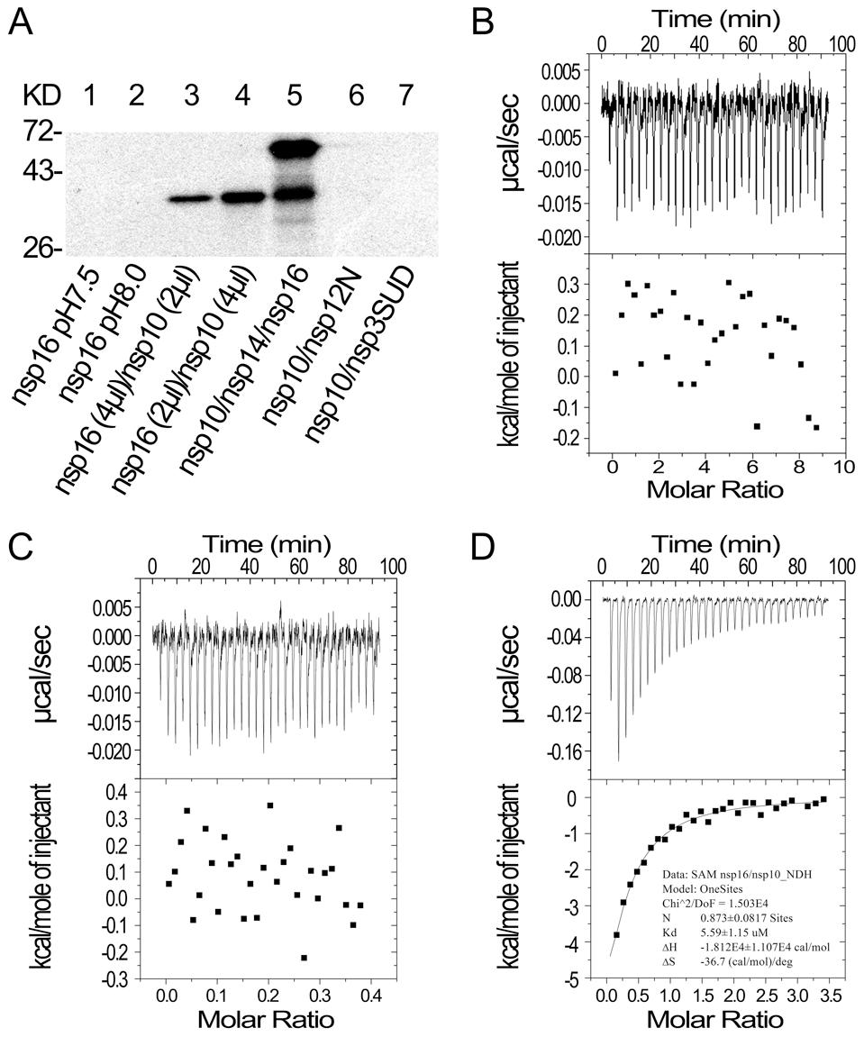 SAM binding analyses of SARS-CoV nsp14, nsp16 and nsp10.
