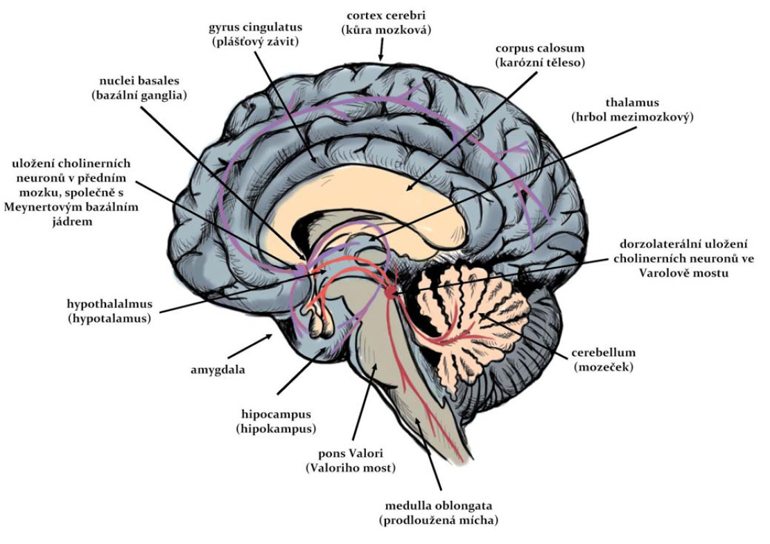 Cholinergní dráhy v CNS člověka. Fig. 1. Cholinergic pathways in the human CNS.