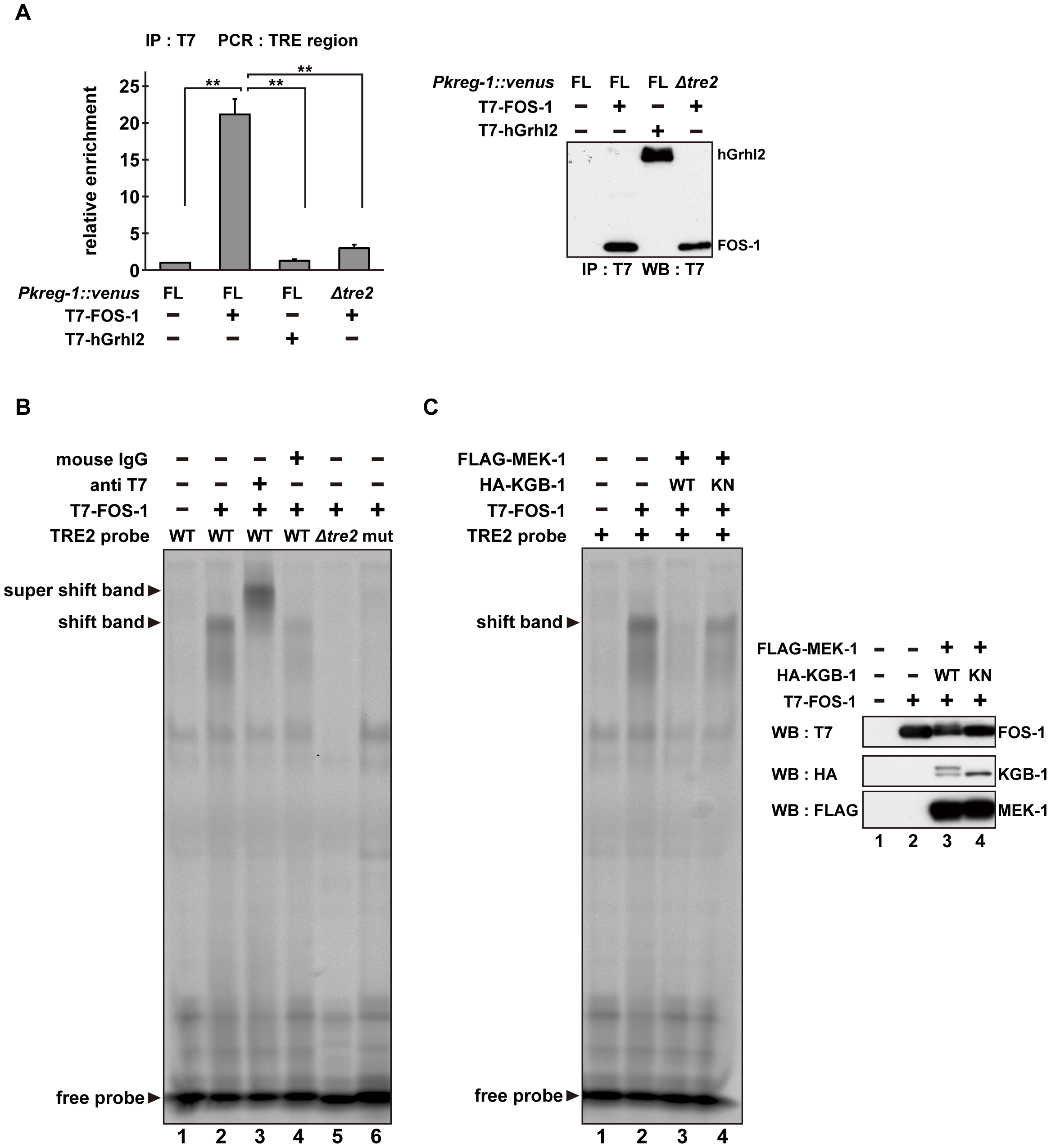 The DNA binding activity of FOS-1 is inhibited by KGB-1-mediated phosphorylation.
