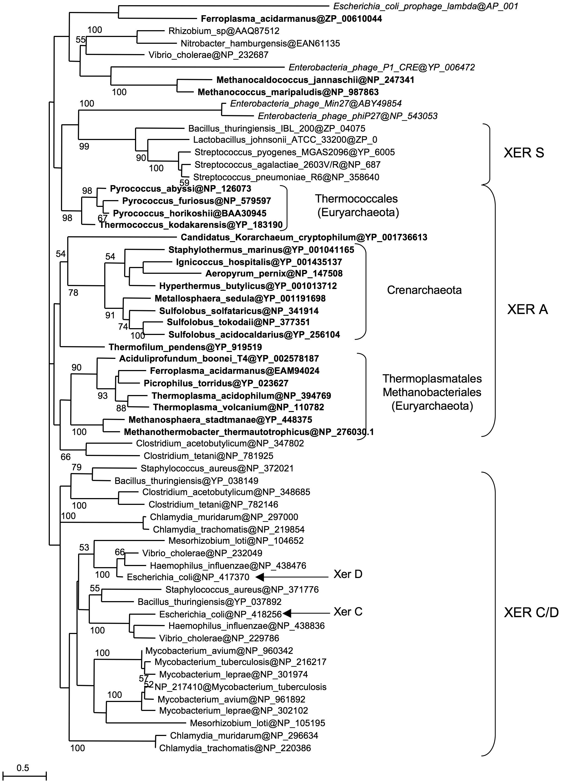 Xer phylogeny.