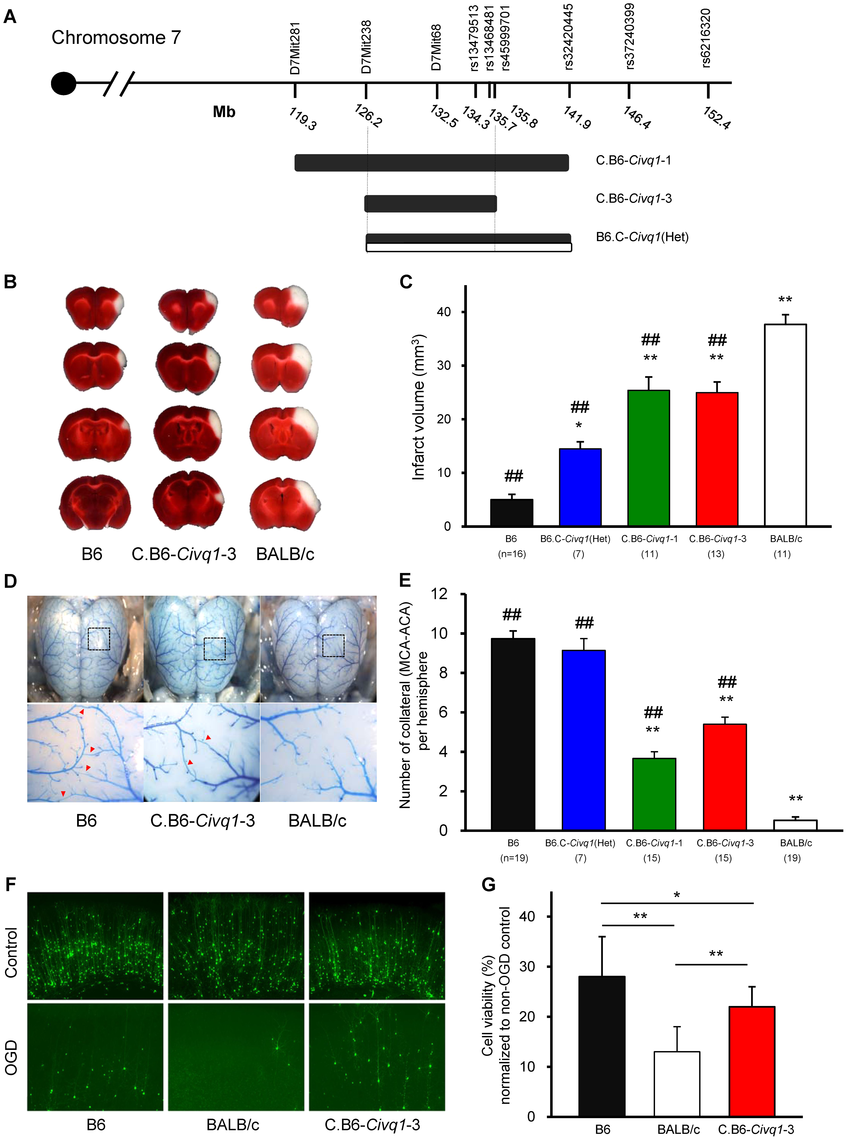The critical interval of chromosome 7 retains both infarct volume and collateral artery number phenotypes in congenic animals.