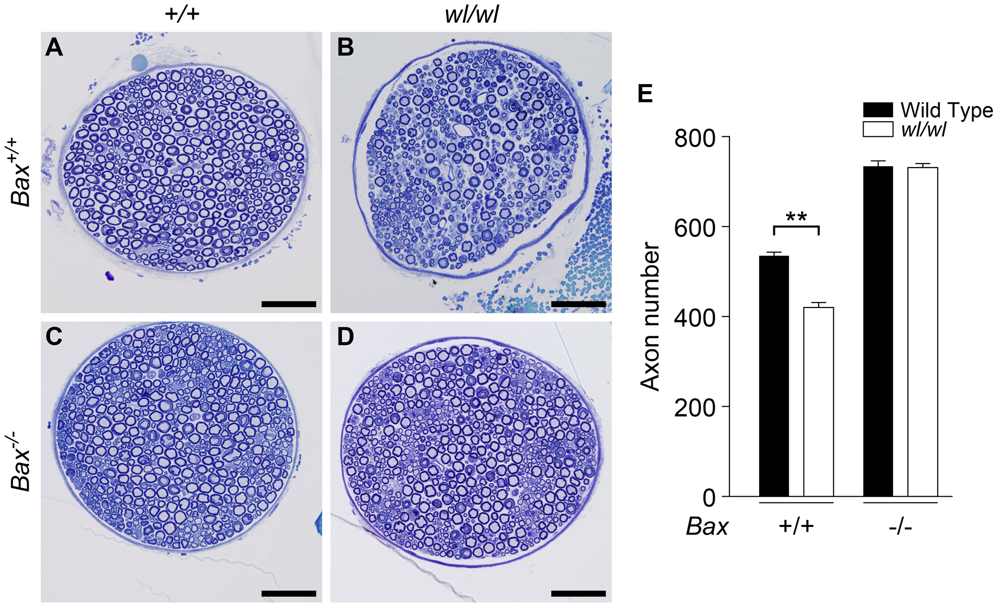 Genetic ablation of <i>Bax</i> protects axons from degeneration in <i>wl</i> mice.