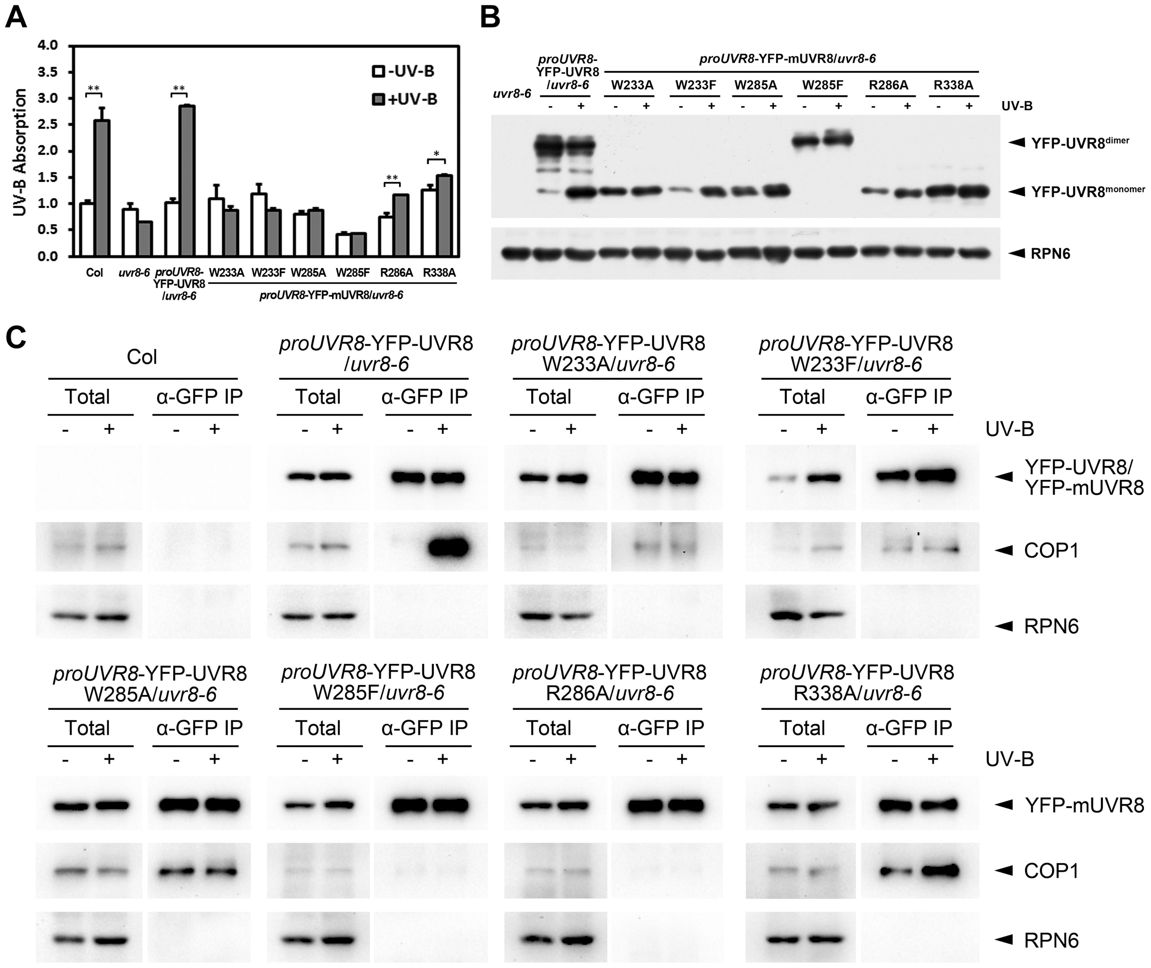 UVR8 mutations affect UV-B light perception, UVR8 monomerization and UVR8-COP1 association.