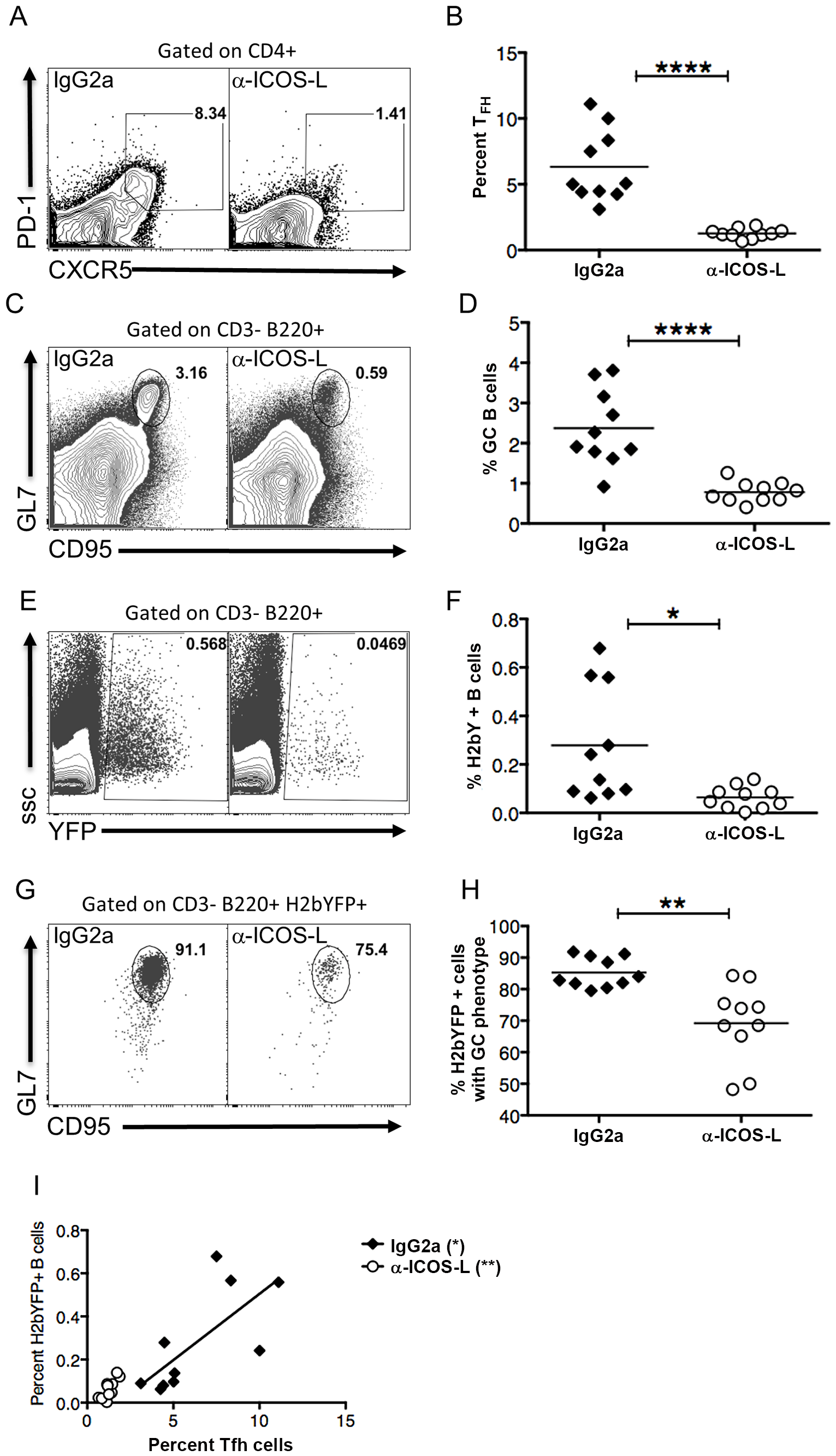 Differentiation of T<sub>FH</sub> cells is required for efficient establishment of MHV68 latency in B cells.