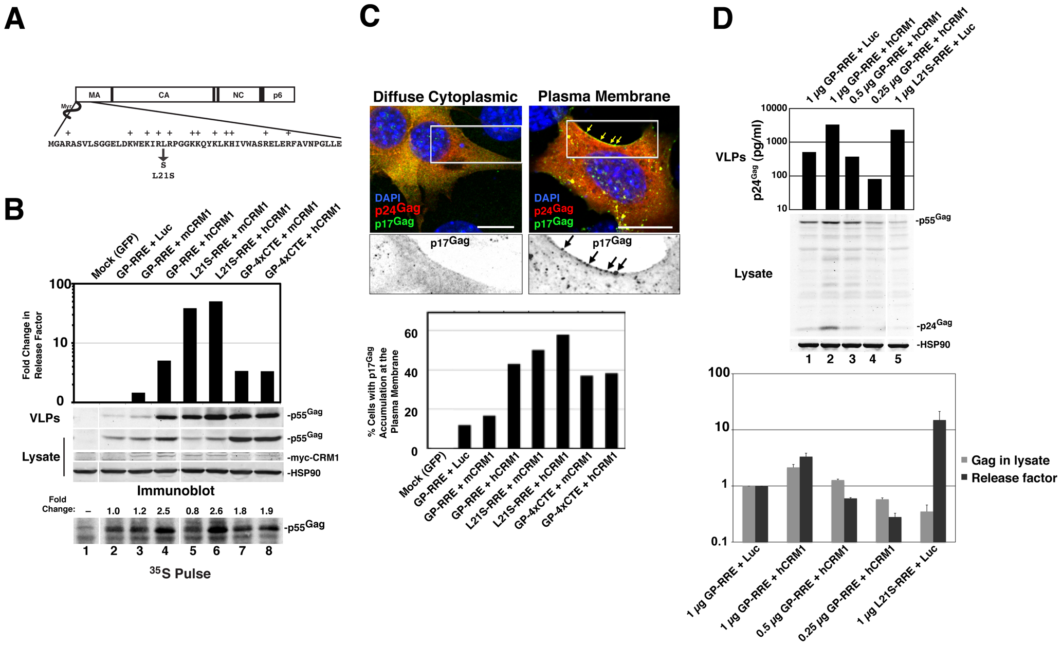 hCRM1 expression in mouse cells improves Gag assembly efficiency and trafficking to the plasma membrane.