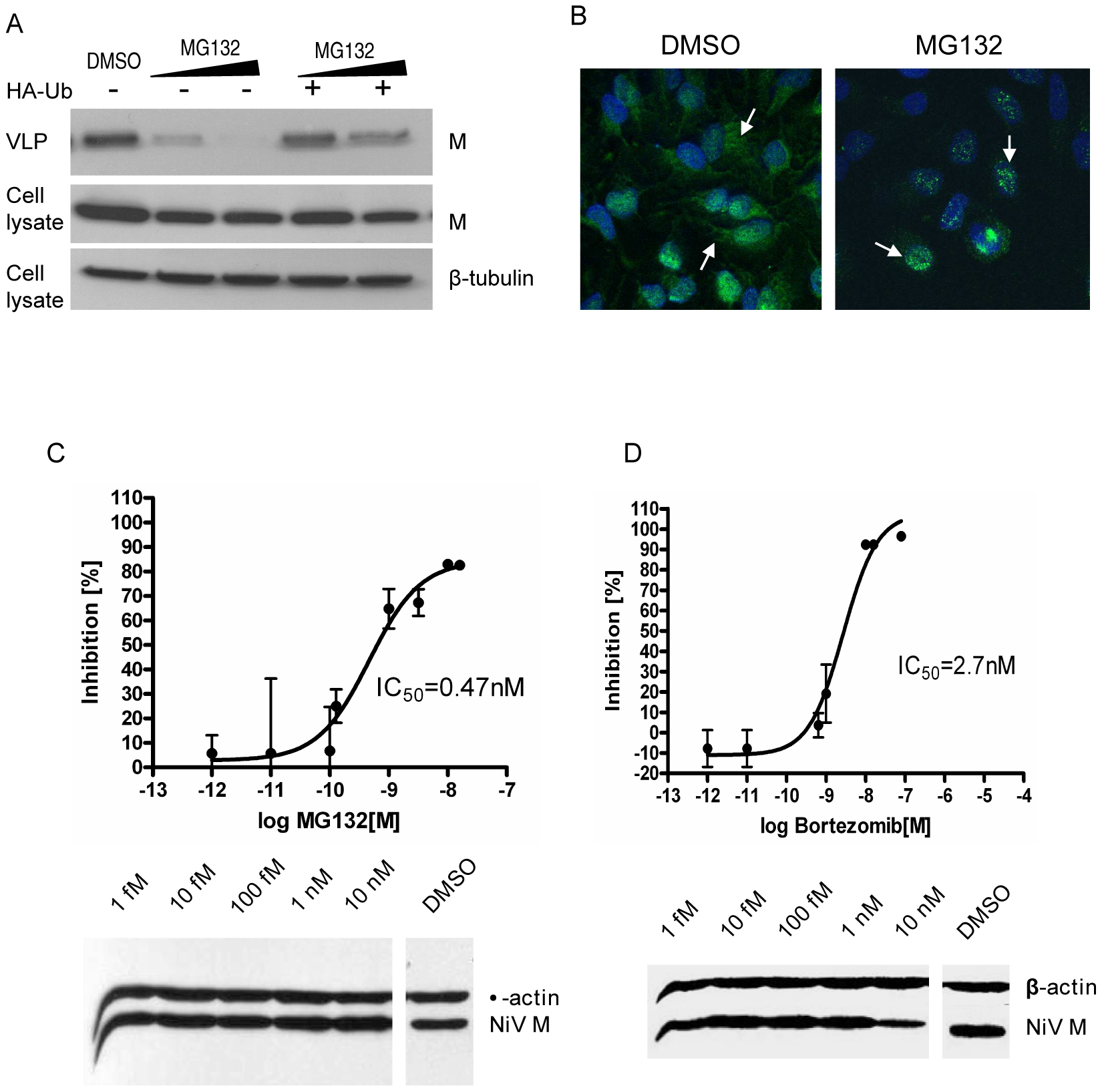 MG132 and bortezomib inhibit NiV-M nuclear export during live viral infection and reduce viral titers.
