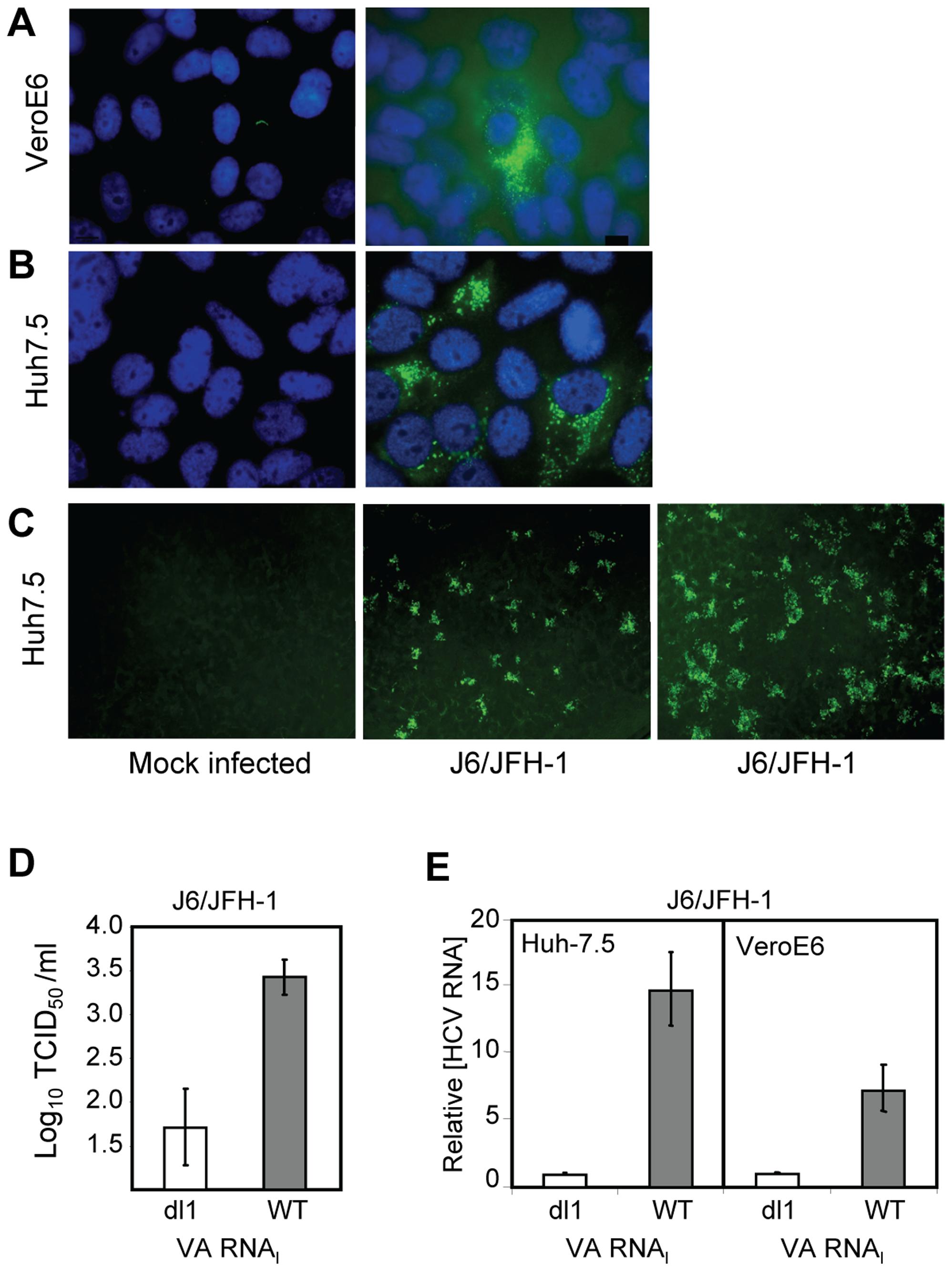 VA RNA<sub>I</sub> stimulates replication of J6/JFH-1.