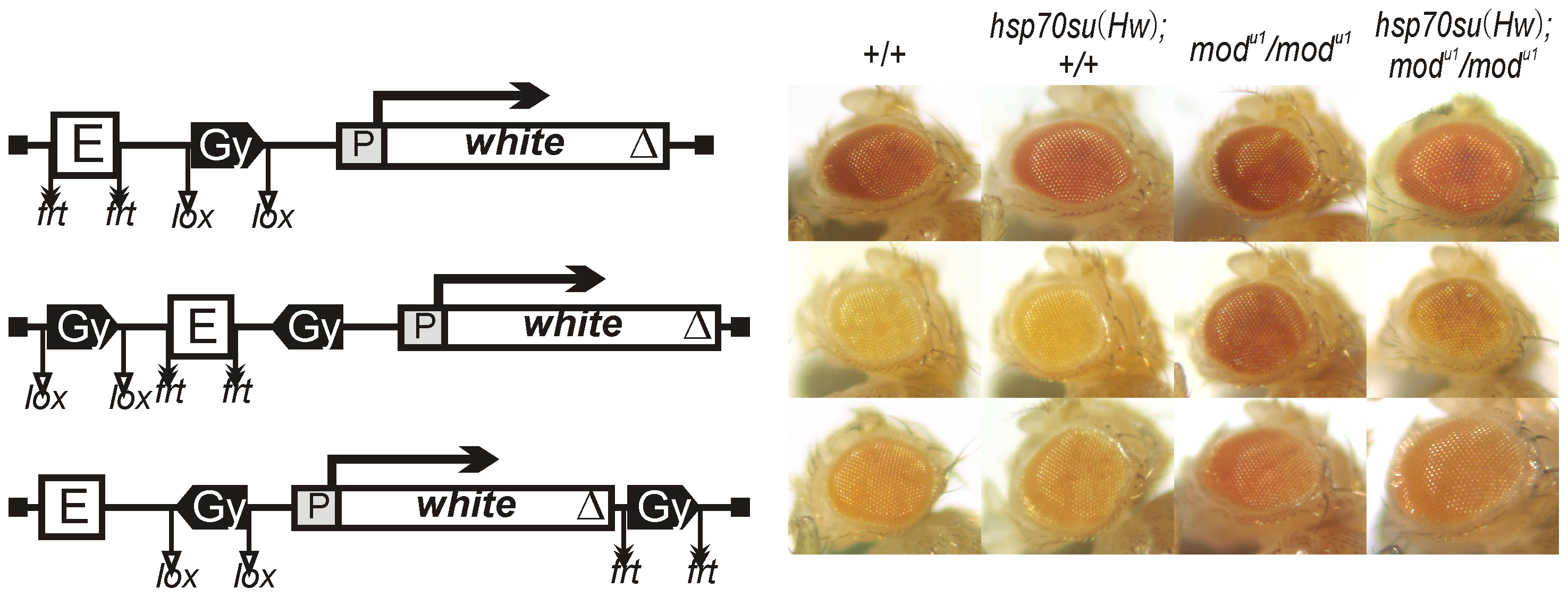 The role of Su(Hw) and Mod(mdg4)-67.2 proteins in the enhancer blocking by the <i>gypsy</i> insulator.