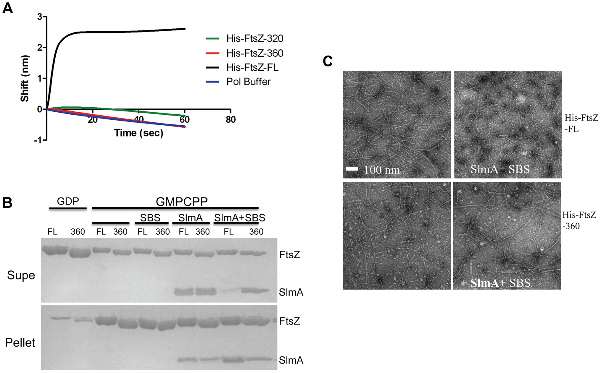 The conserved C-terminal tail of FtsZ is necessary for SlmA to bind to FtsZ and to antagonize FtsZ polymerization.