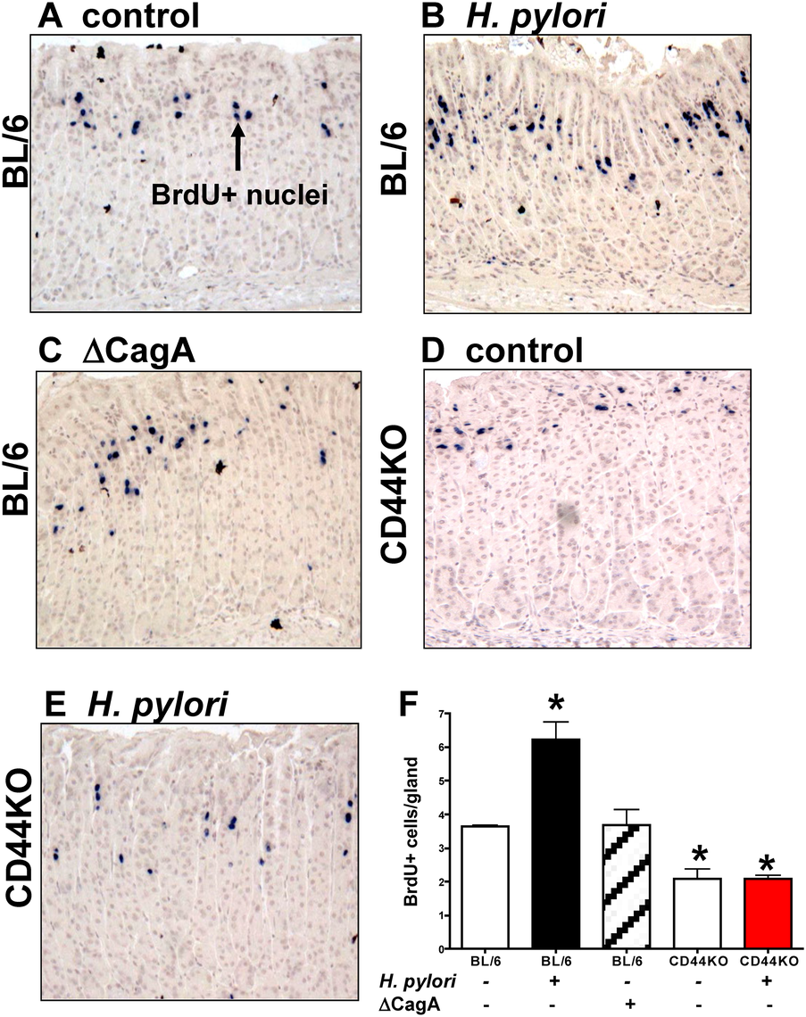 Epithelial proliferation in response to <i>H</i>. <i>pylori</i> infection of C57BL/6 (BL/6) and CD44 deficient (CD44KO) mice.