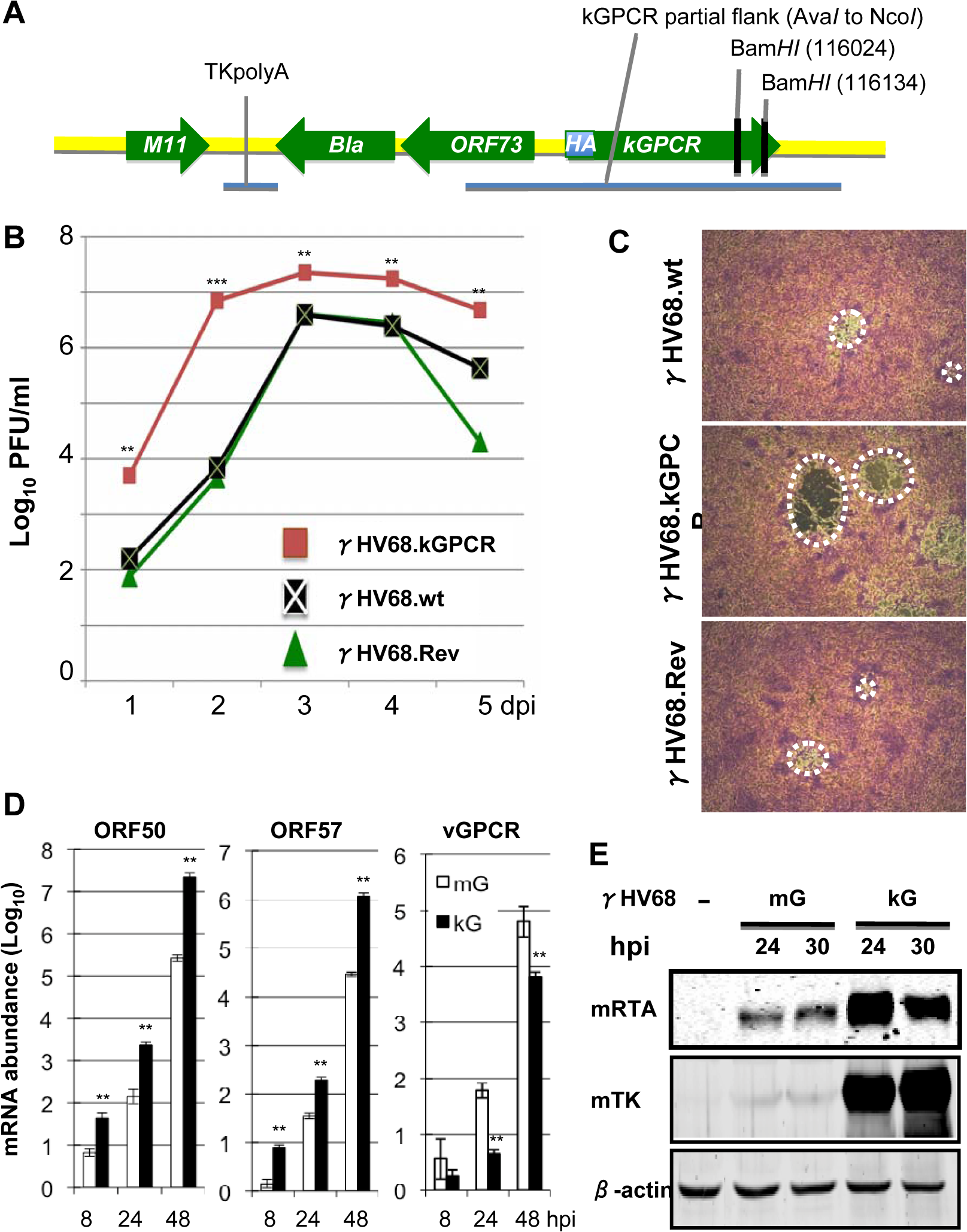 Generation and characterization of a recombinant γHV68 carrying kGPCR.