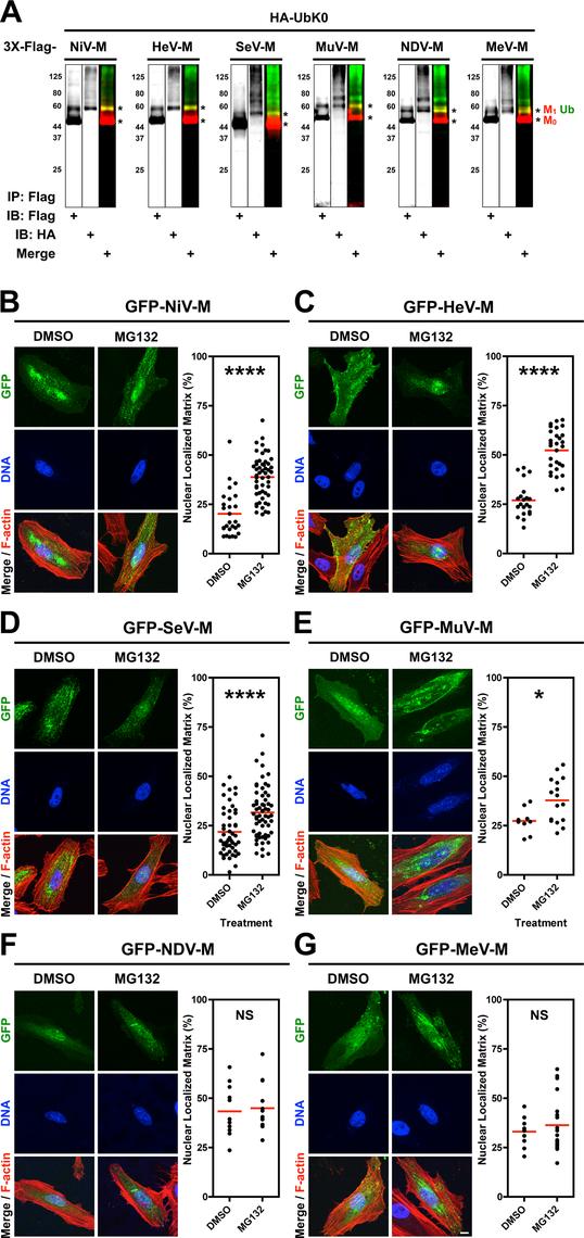 Analysis of the ubiquitin-regulated nuclear export of matrix proteins from five <i>Paramyxovirinae</i> genera.
