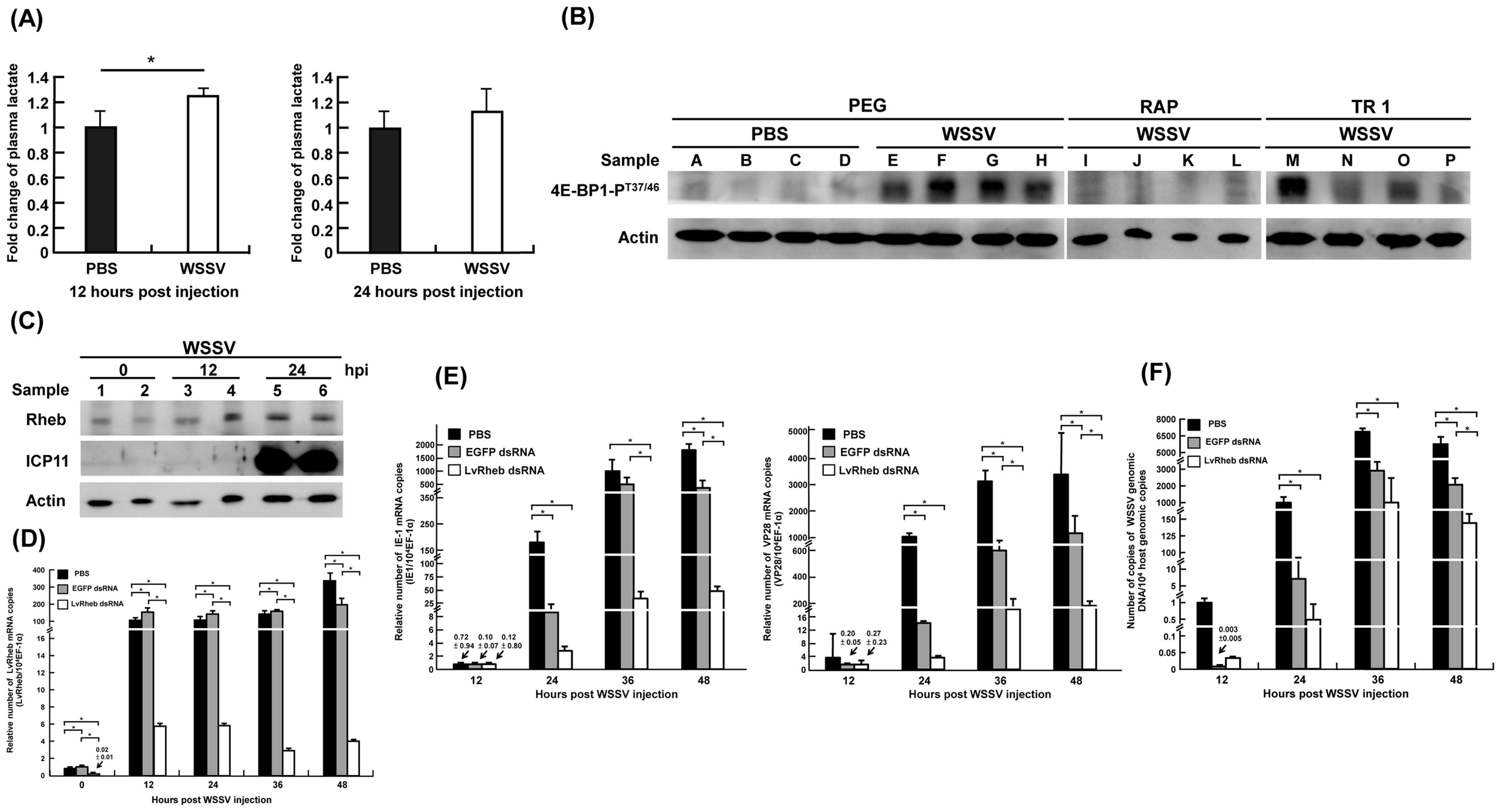 (A) WSSV infection increased the plasma lactate production at the WSSV genome replication stage (12 hpi), rather than at the late stage (24 hpi).