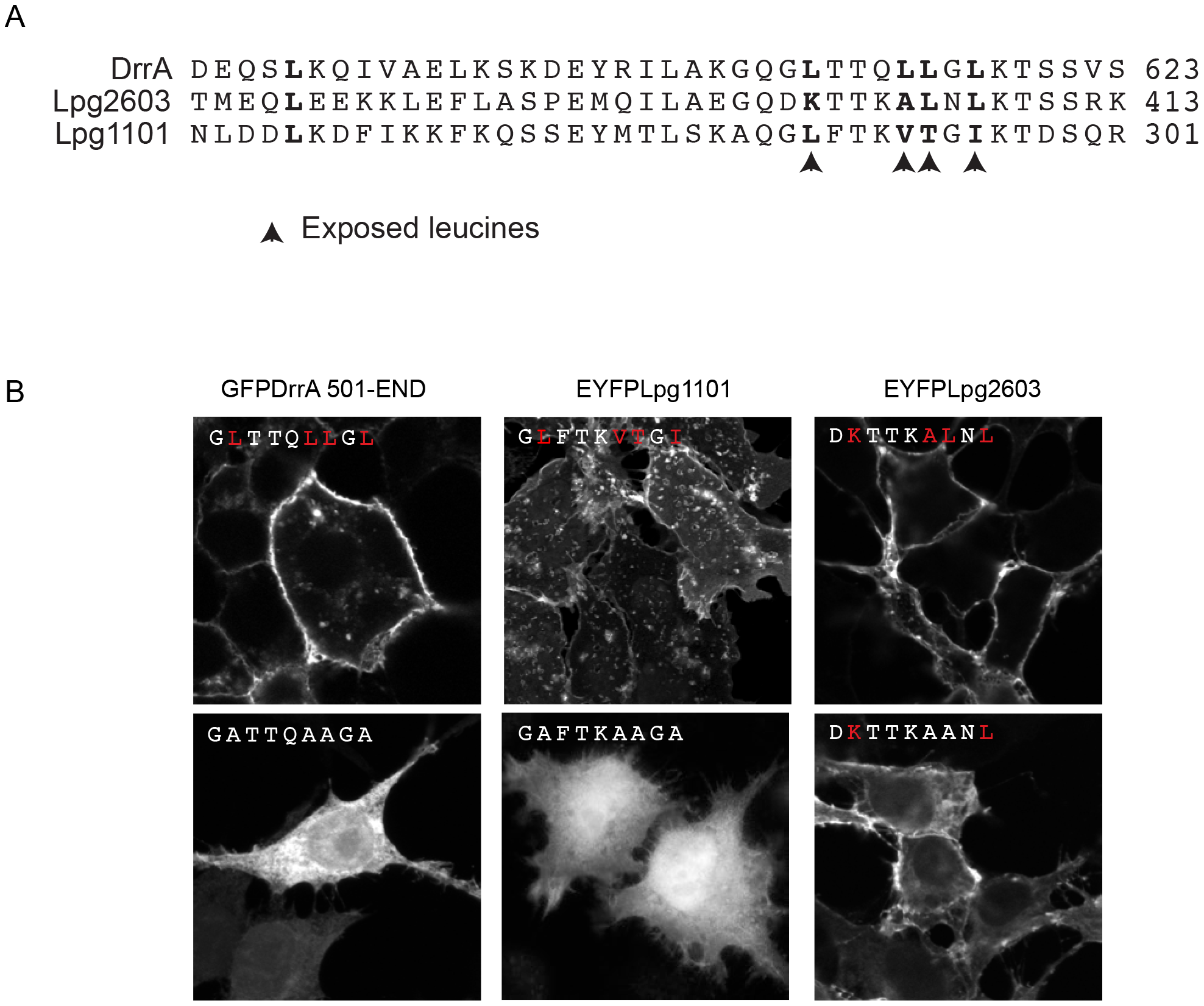 Role of the Membrane Insertion Motif (MIM) in LEPR-containing effectors association with the PM.