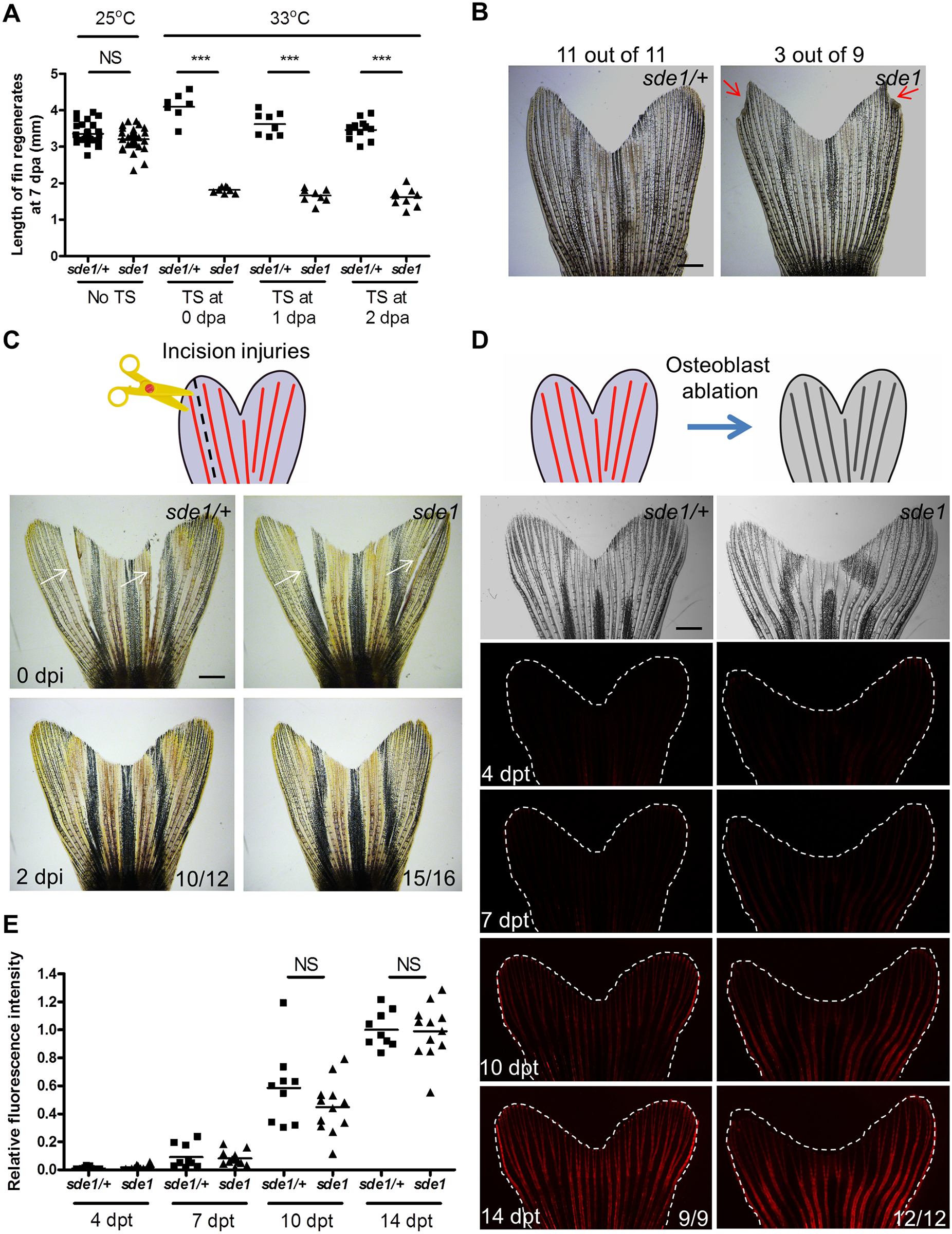 <i>sde1</i> requirements for tissue regeneration depend on injury context.