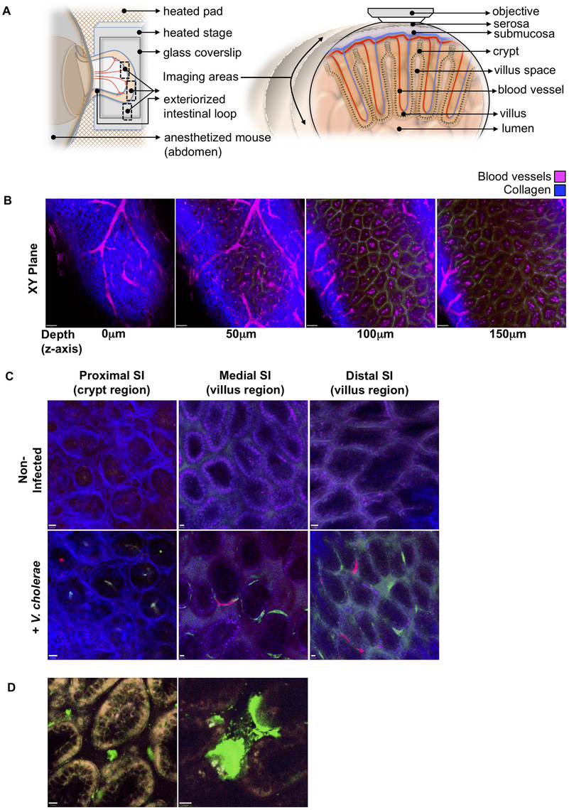 Detection of fluorescently labeled <i>V. cholerae</i> in the intact infant mouse small intestine by intravital two-photon microscopy.