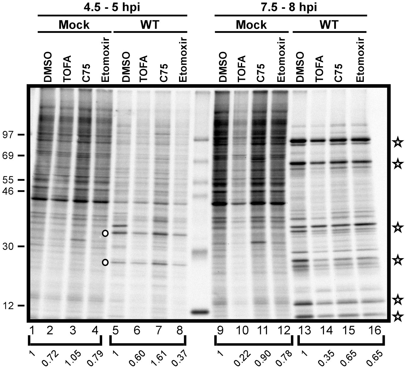 Viral protein synthesis is modestly reduced in the presence of TOFA, C75 and etomoxir.