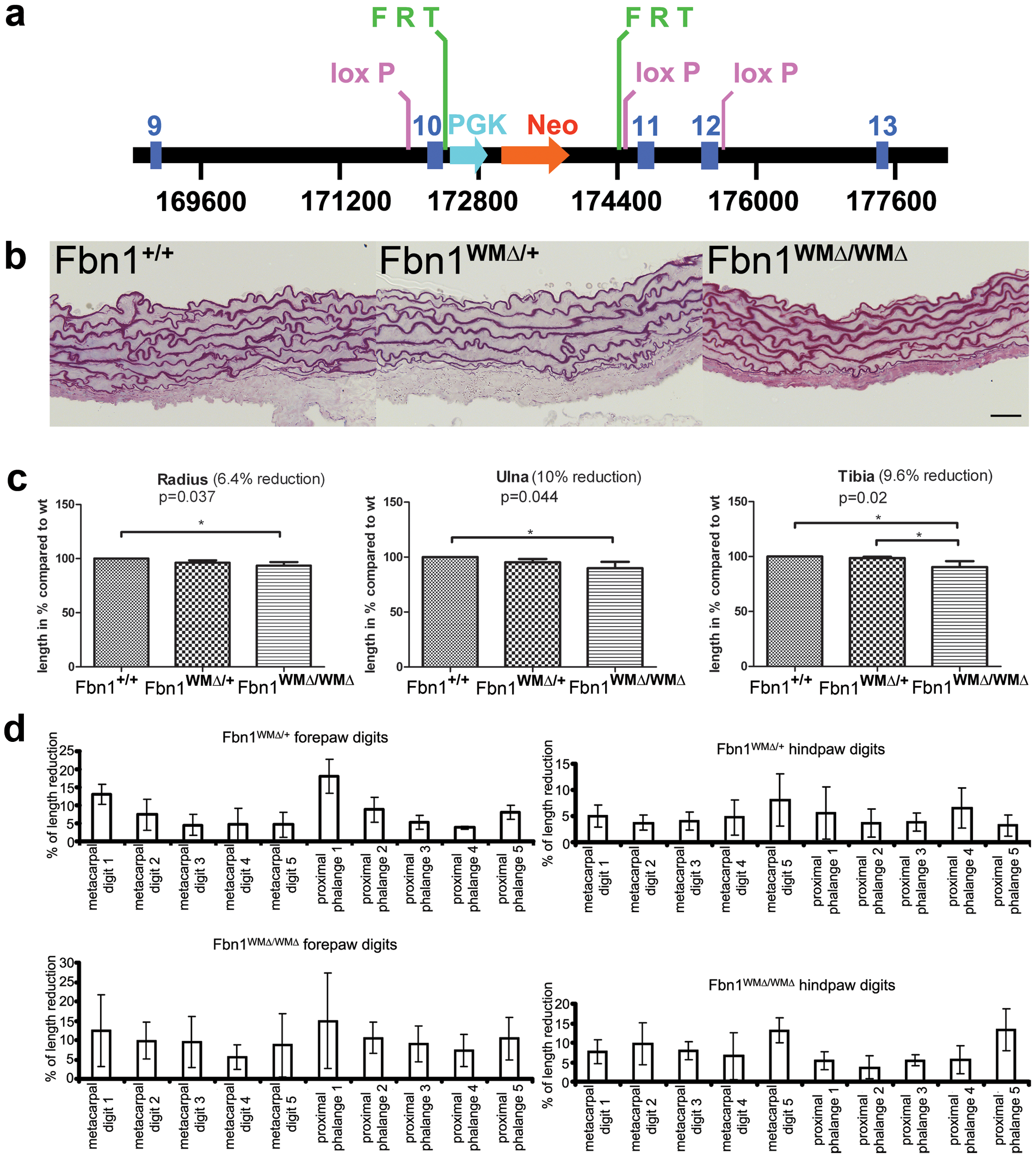 Replication of the WMS mutation in mice.