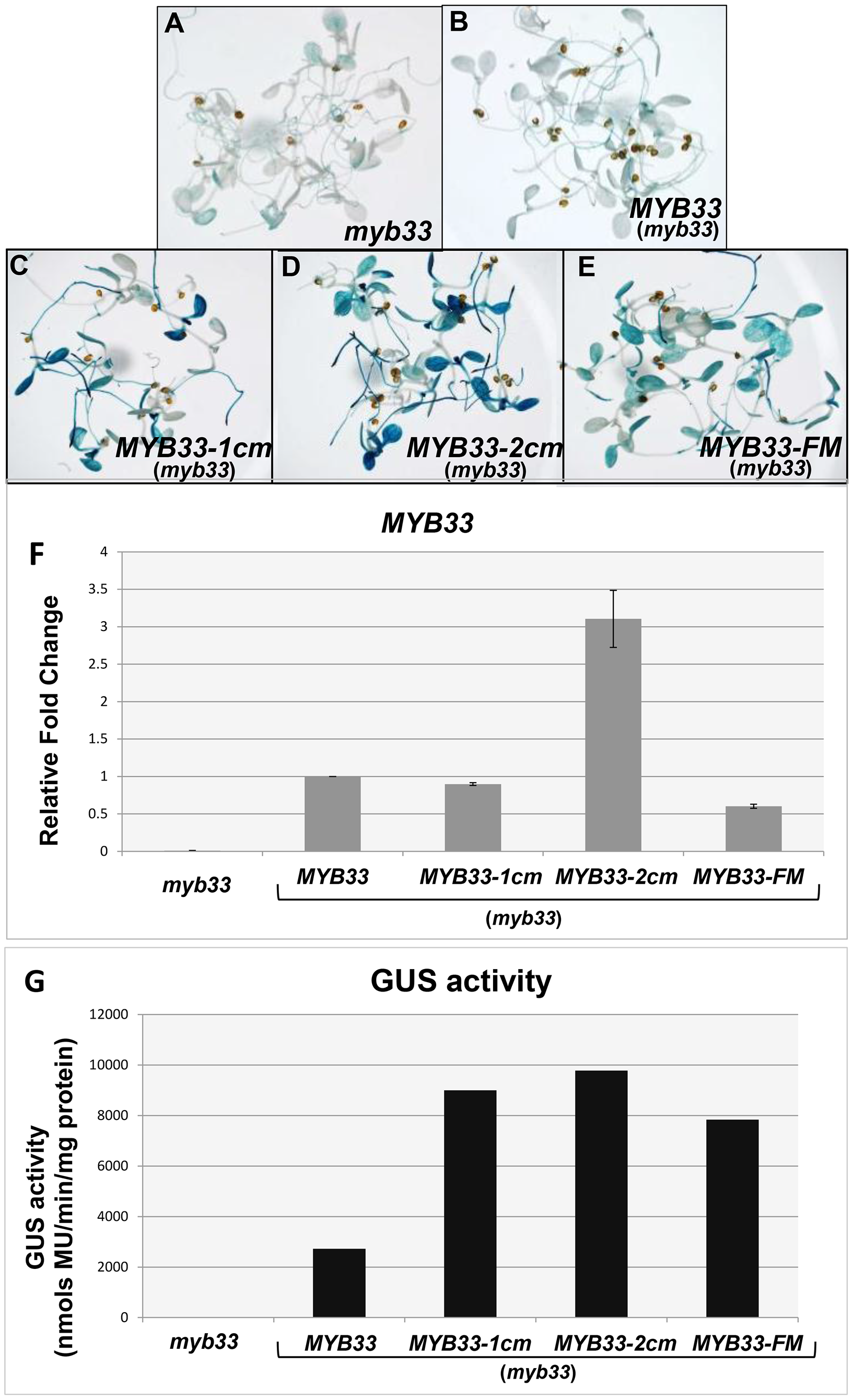 Quantification of <i>MYB33</i> expression using the GUS reporter system.