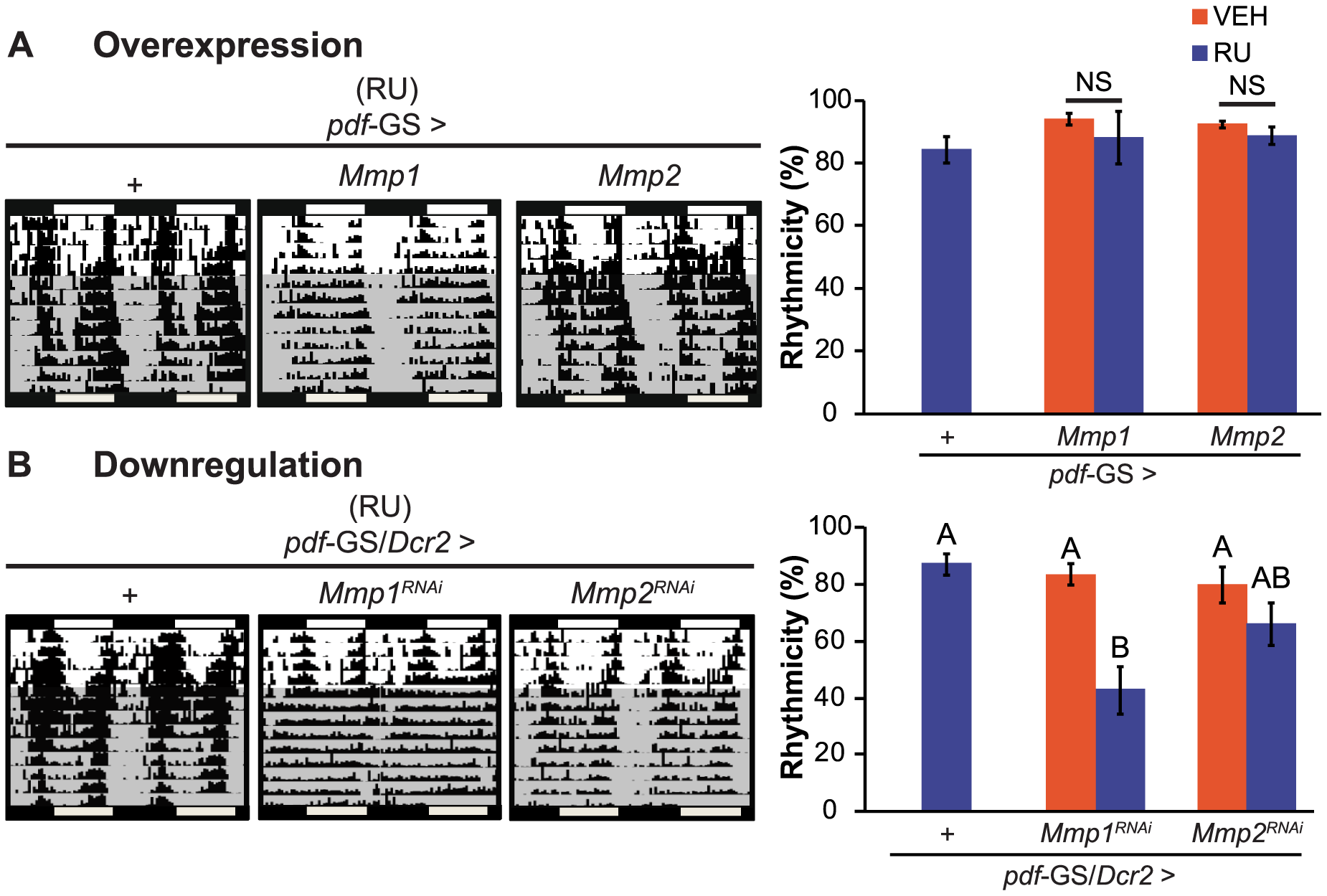 Mmp1 modulates behavioral rhythmicity.