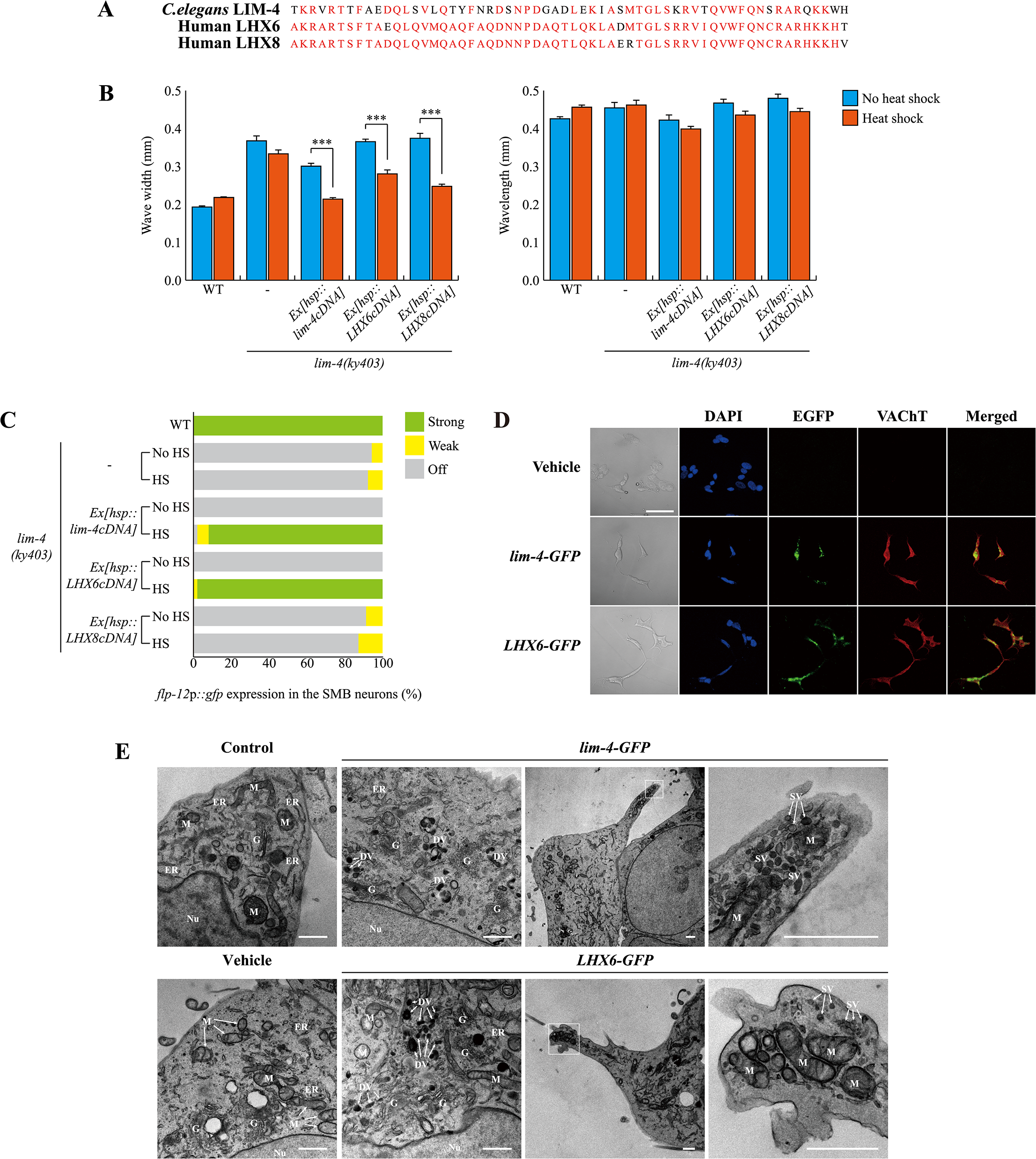 <i>C</i>. <i>elegans</i> LIM-4 or human LHX6 induces expression of cholinergic makers and neuronal characteristics in human neuroblastoma cells.