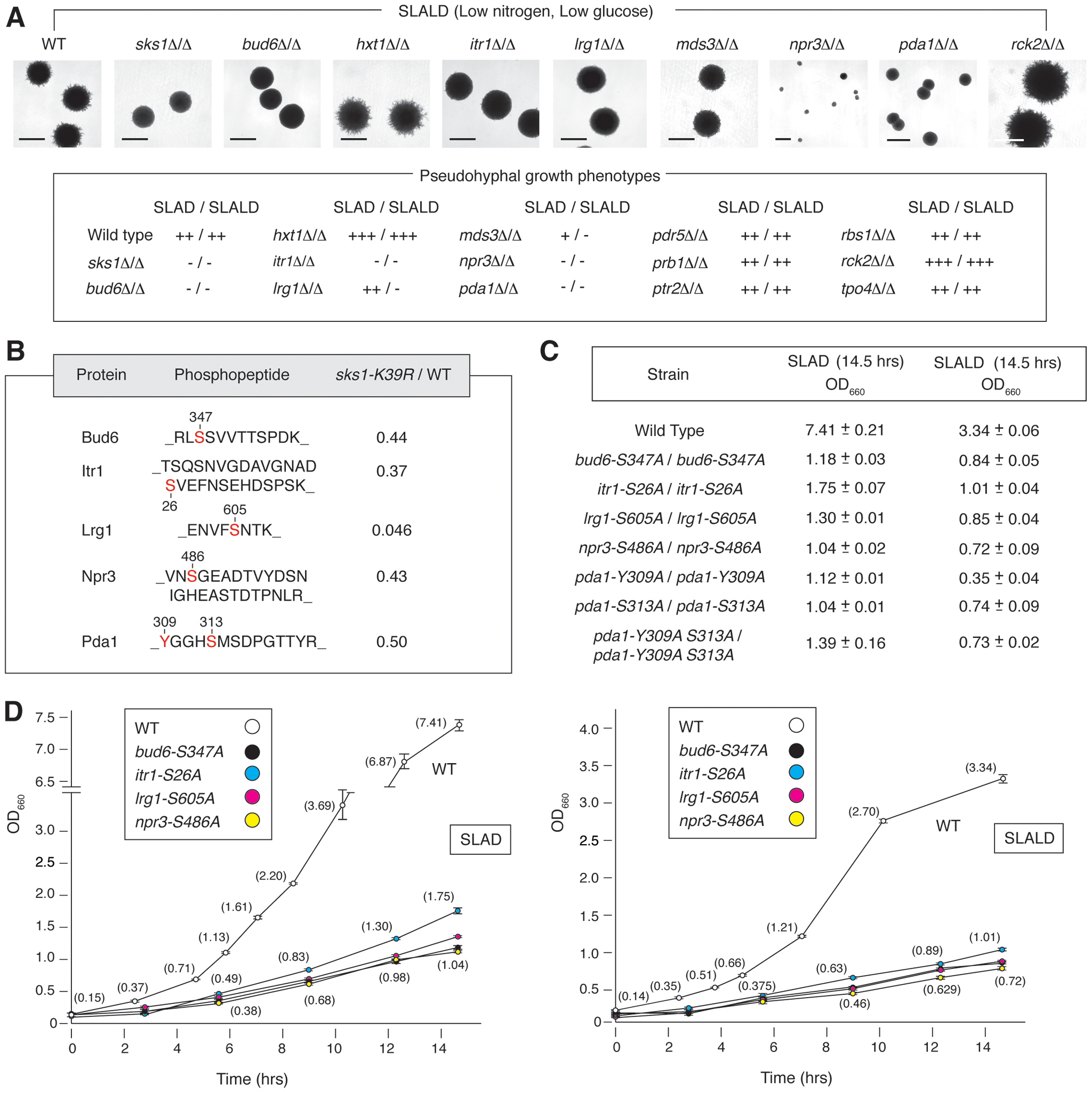 Phenotypic analysis of homozygous diploid mutants corresponding to a subset of Sks1p-dependent phosphoproteins identified by mass spectrometry.