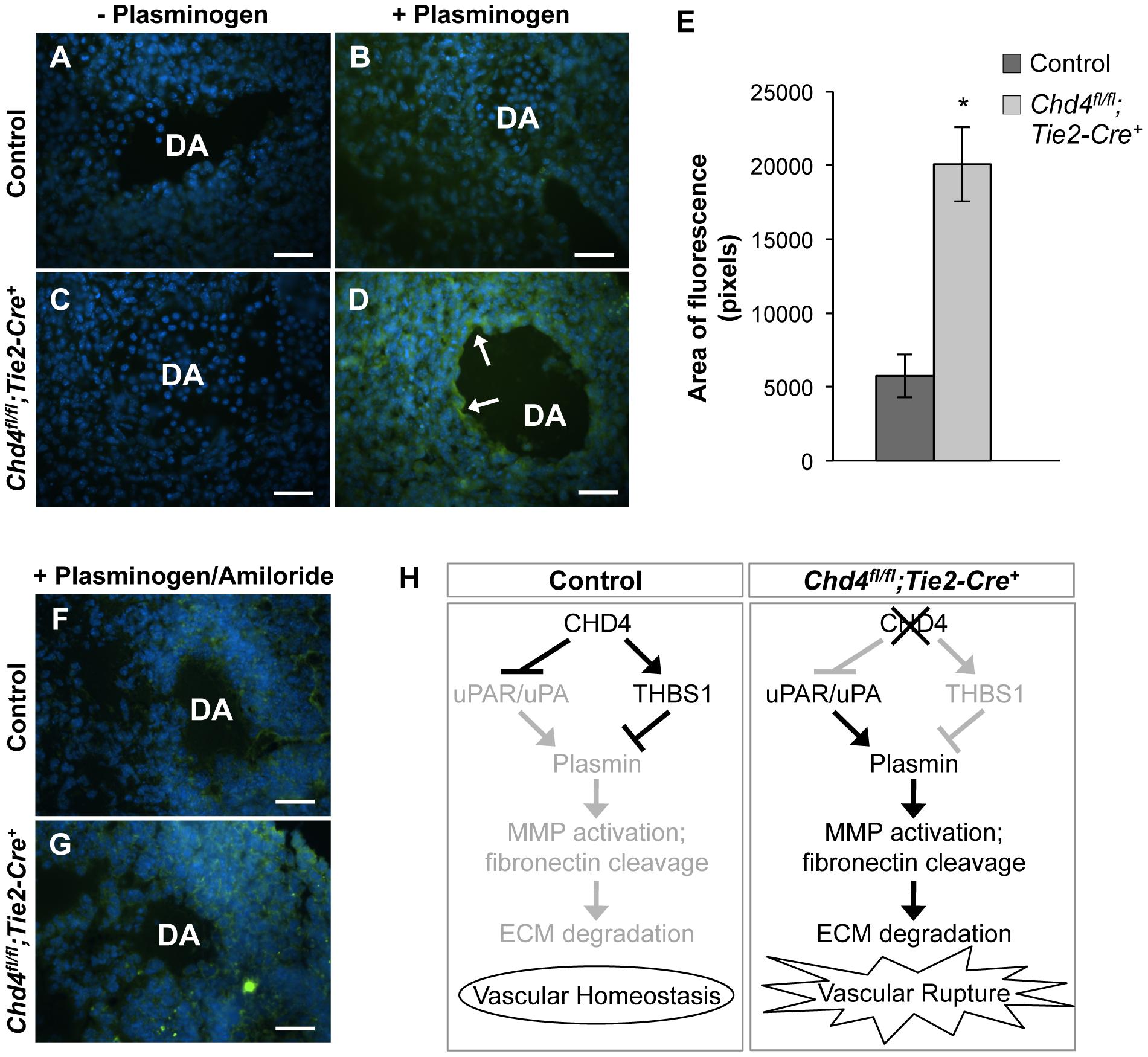 Excessive plasmin activity is detected around rupture-prone <i>Chd4<sup>fl/fl</sup>;Tie2-Cre<sup>+</sup></i> blood vessels.