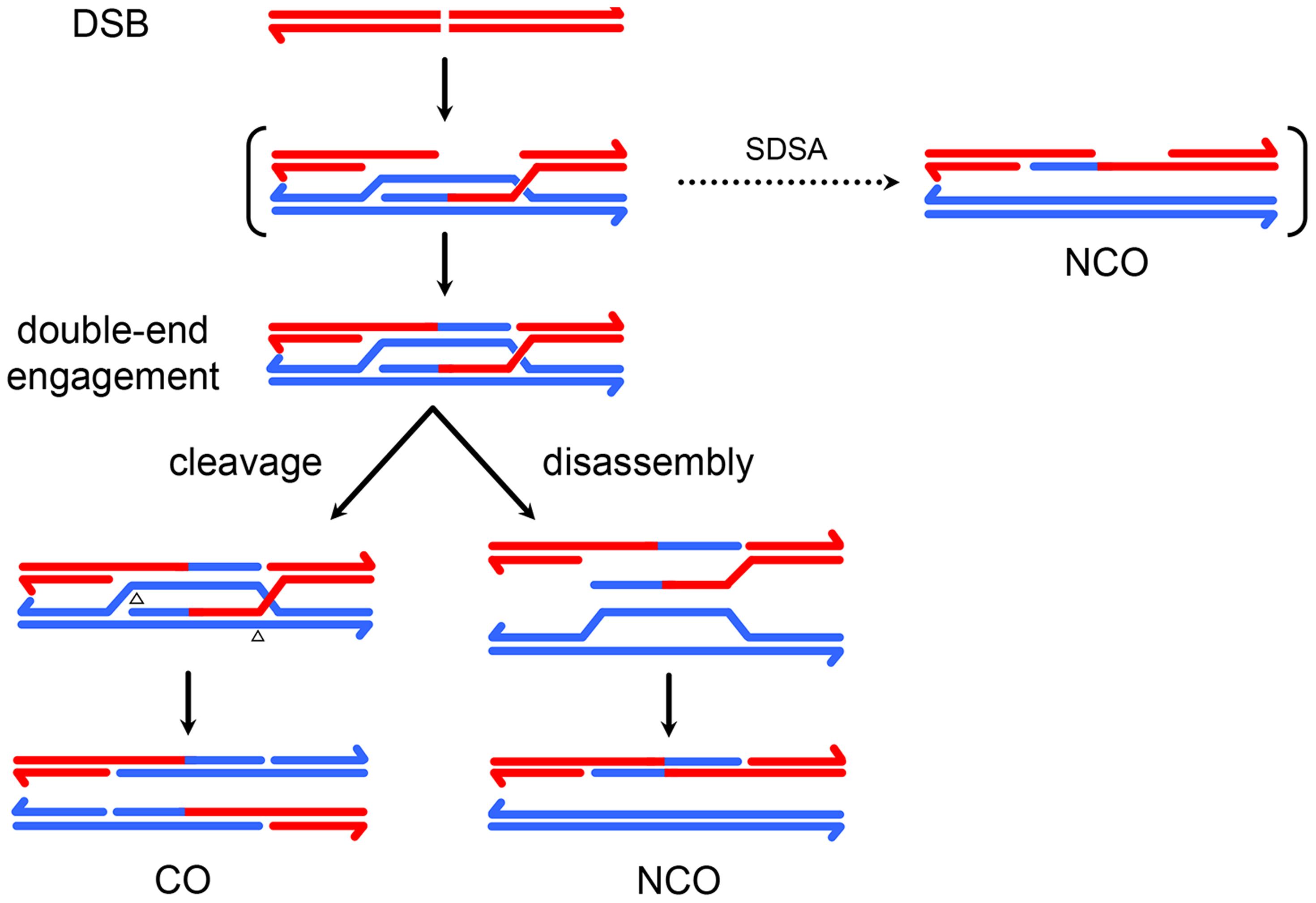 A model for meiotic recombination in <i>Drosophila</i>.